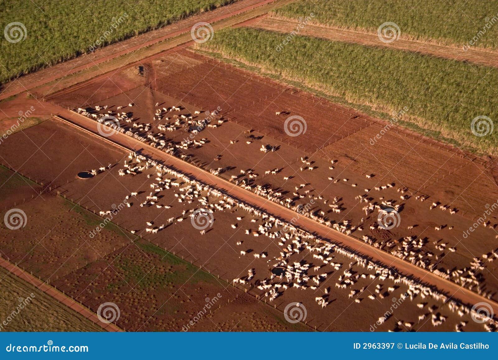 πεδίο βοοειδών πράσινο