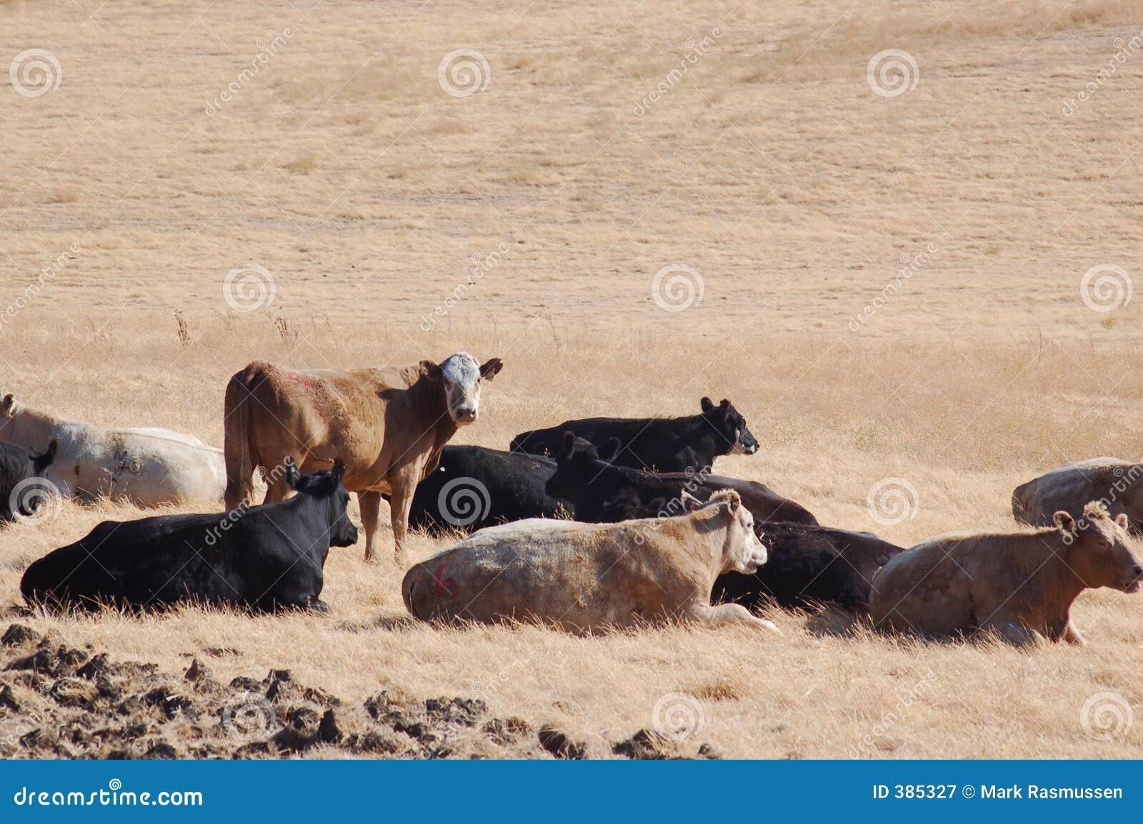 πεδίο βοοειδών