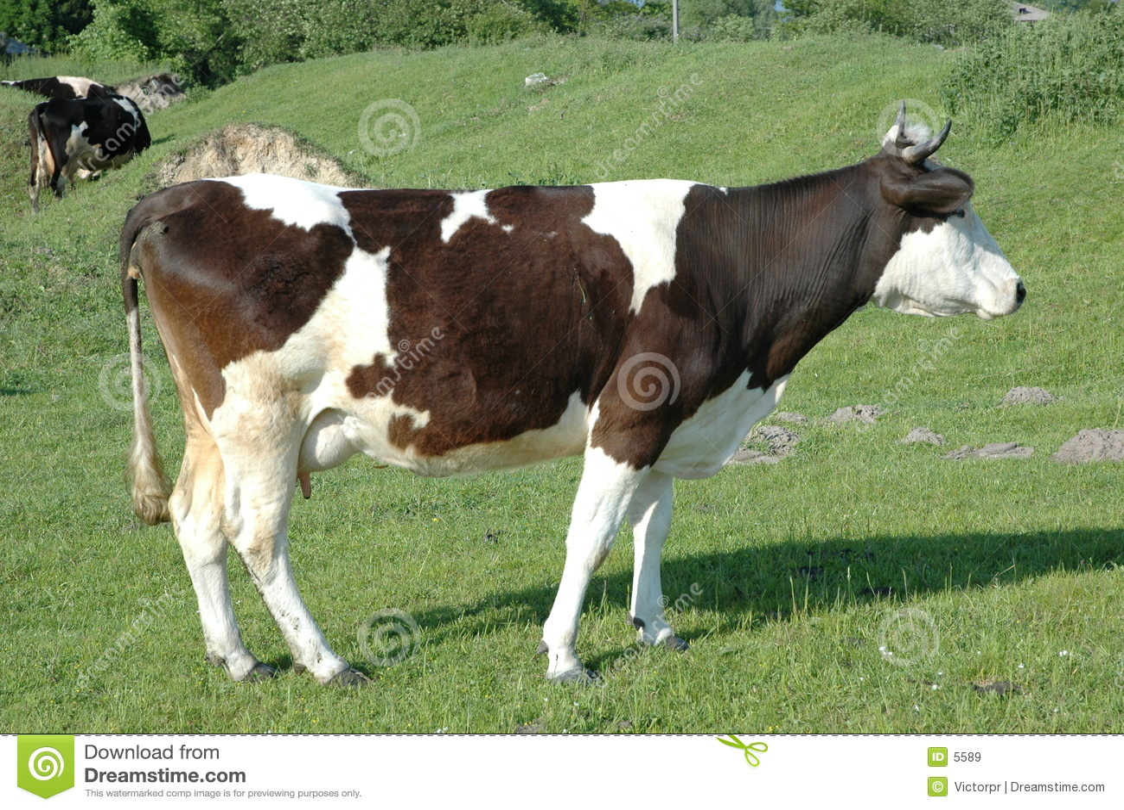 πεδίο 2 αγελάδων πράσινο