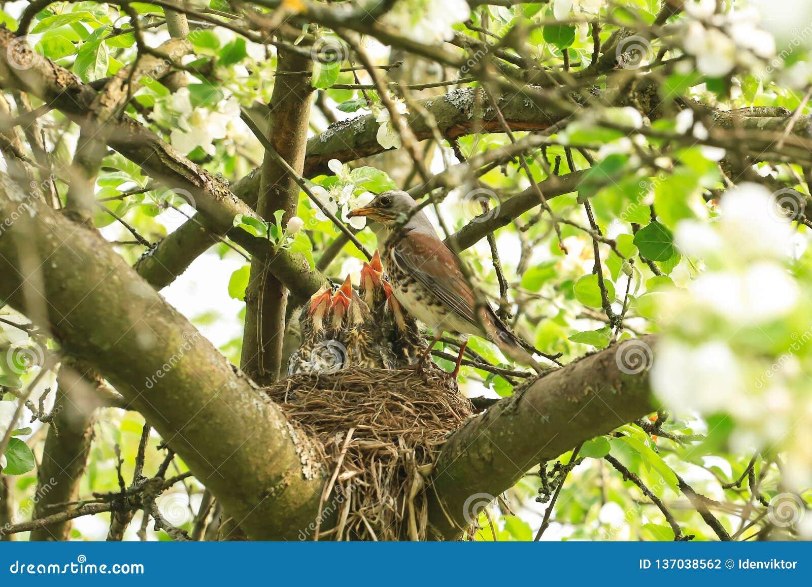 Πεινασμένα πουλιά μωρών σε μια φωλιά με την τσίχλα μητέρων