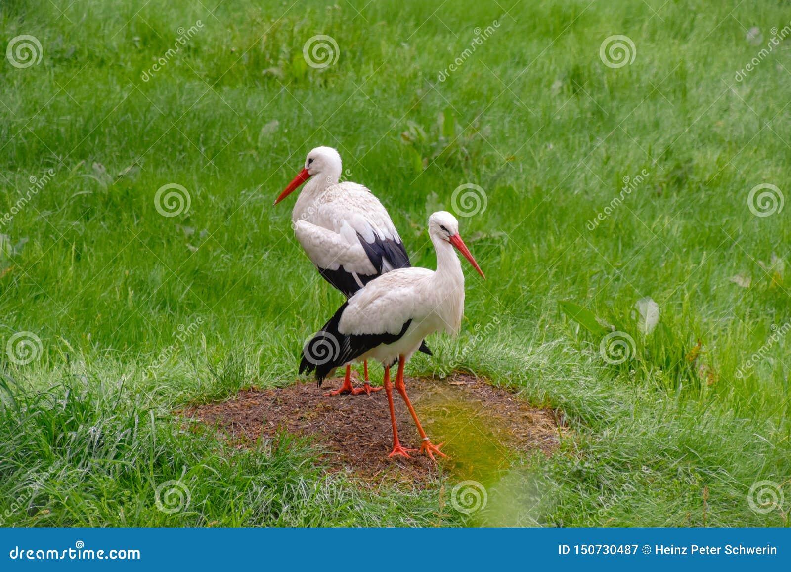 Πελαργός στο λιβάδι και στη φωλιά