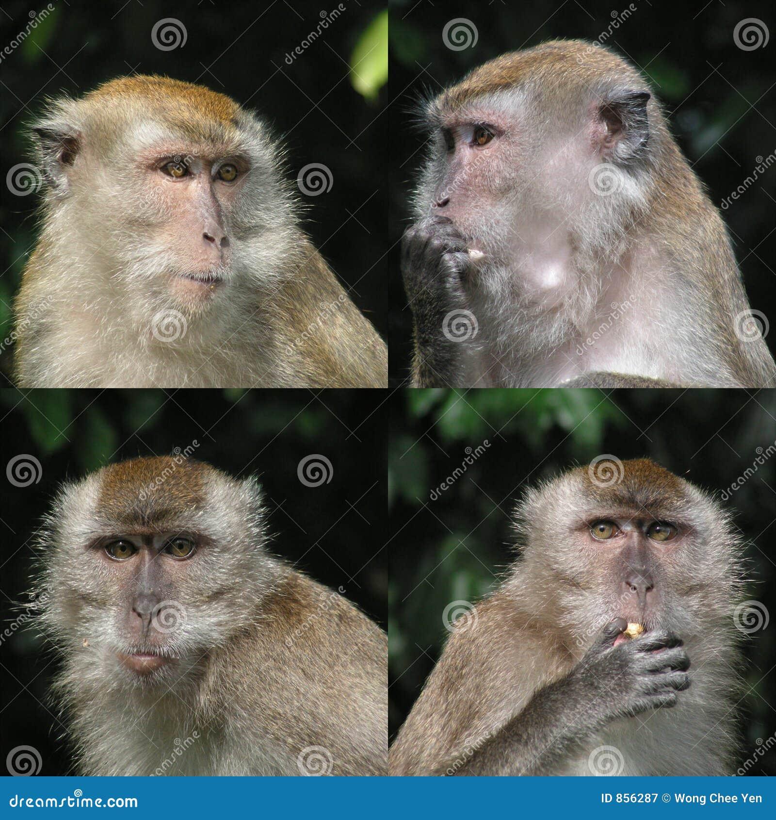 περίεργος πίθηκος προσώπων