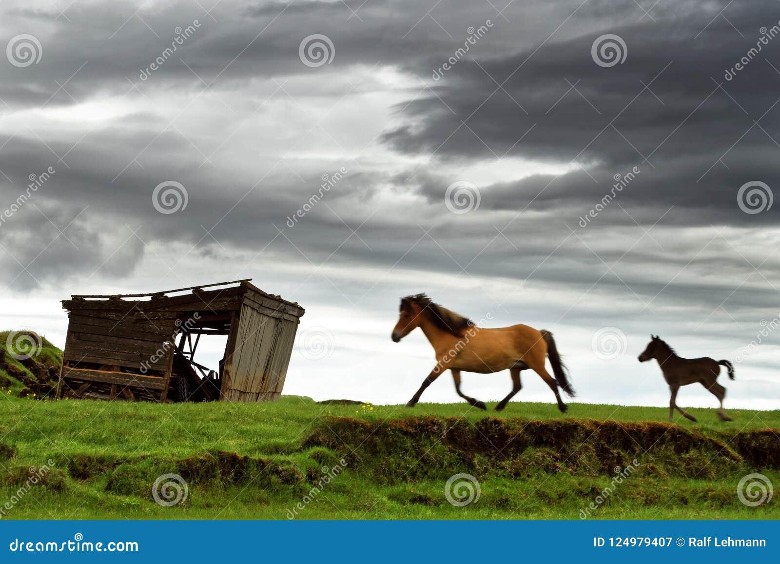 Περίπατος αλόγων Icland πέρα από ένα λιβάδι