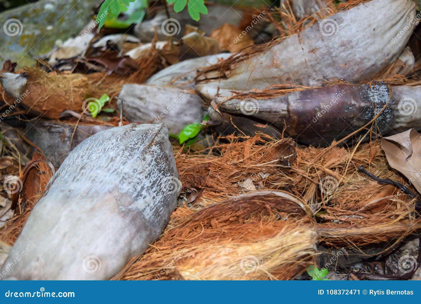 Περικοπή επάνω στην καρύδα Shell στο έδαφος