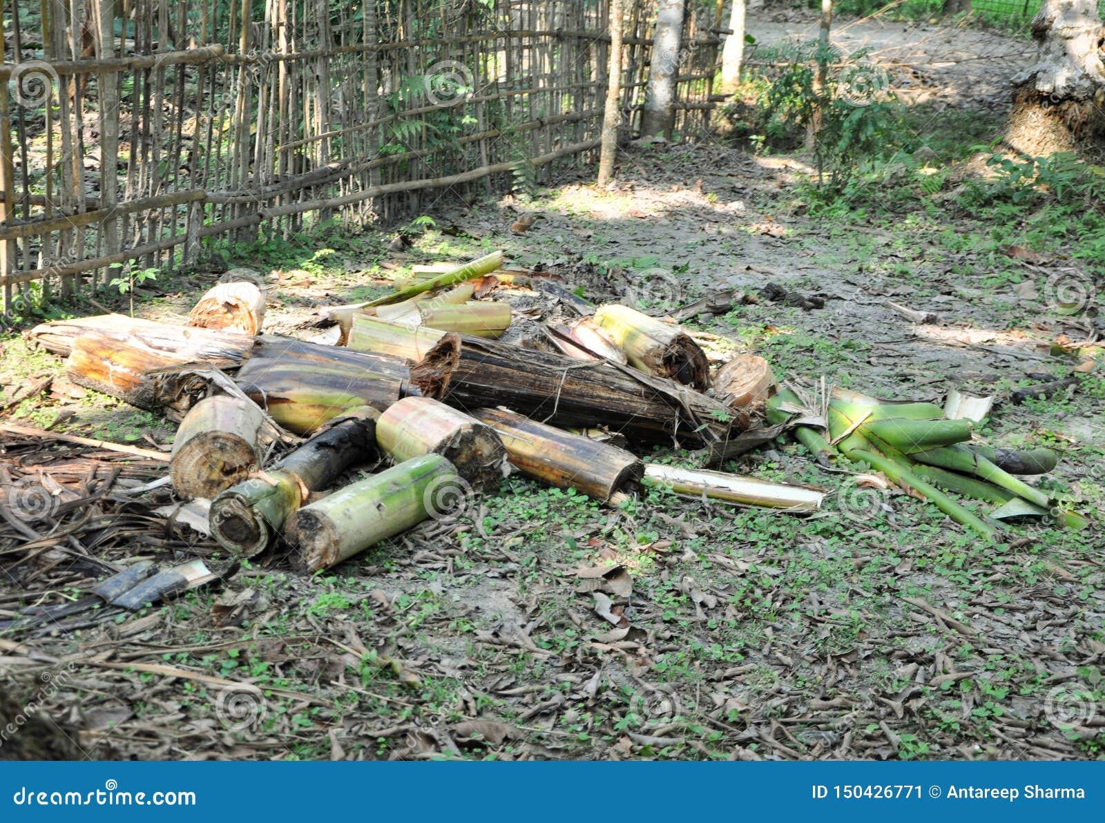 Περιορίστε τα κομμάτια ενός δέντρου μπανανών για την οικιακή χρήση που είδε σε ένα χωριό