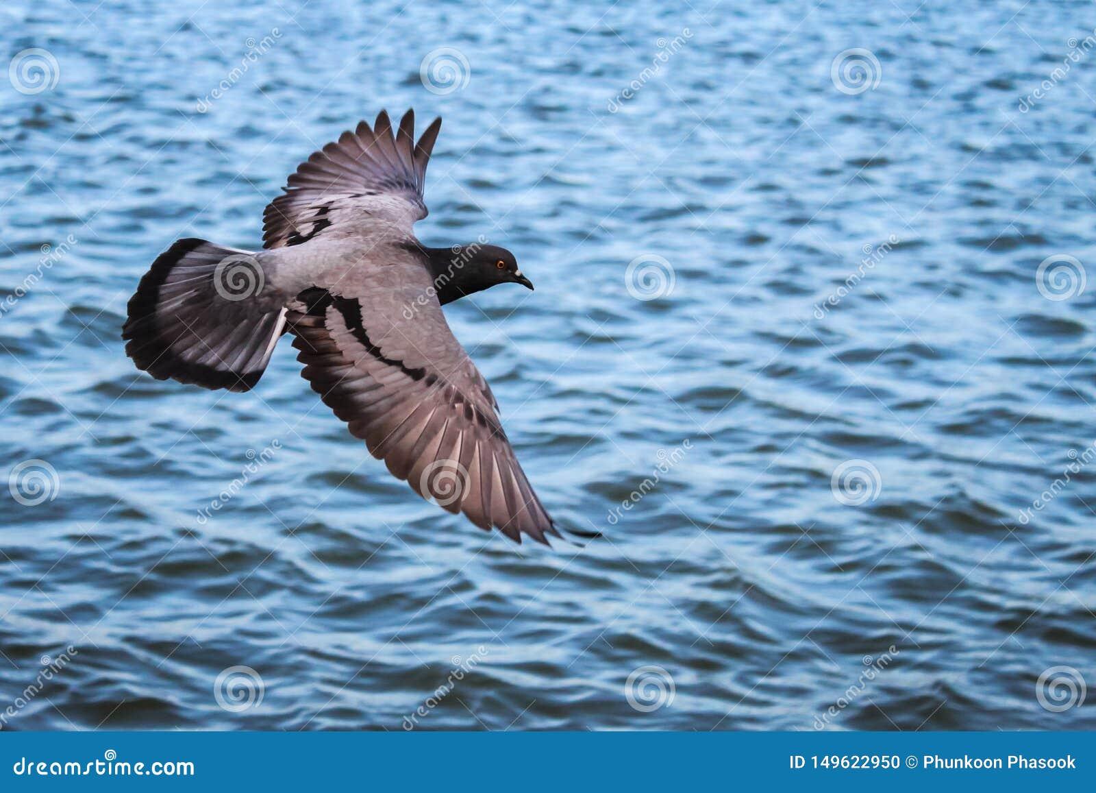 Περιστέρι που πετά πέρα από το νερό, με το ψαλίδισμα της πορείας