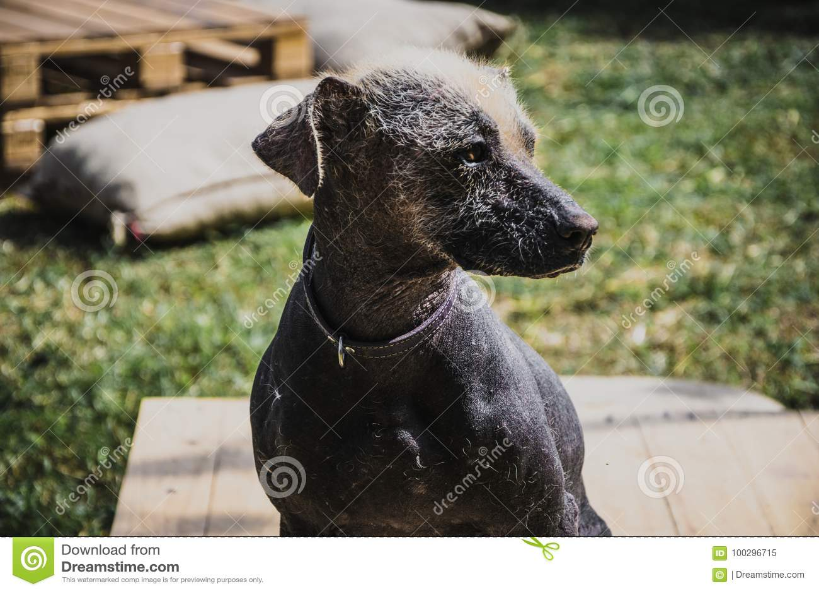 Περουβιανό σκυλί