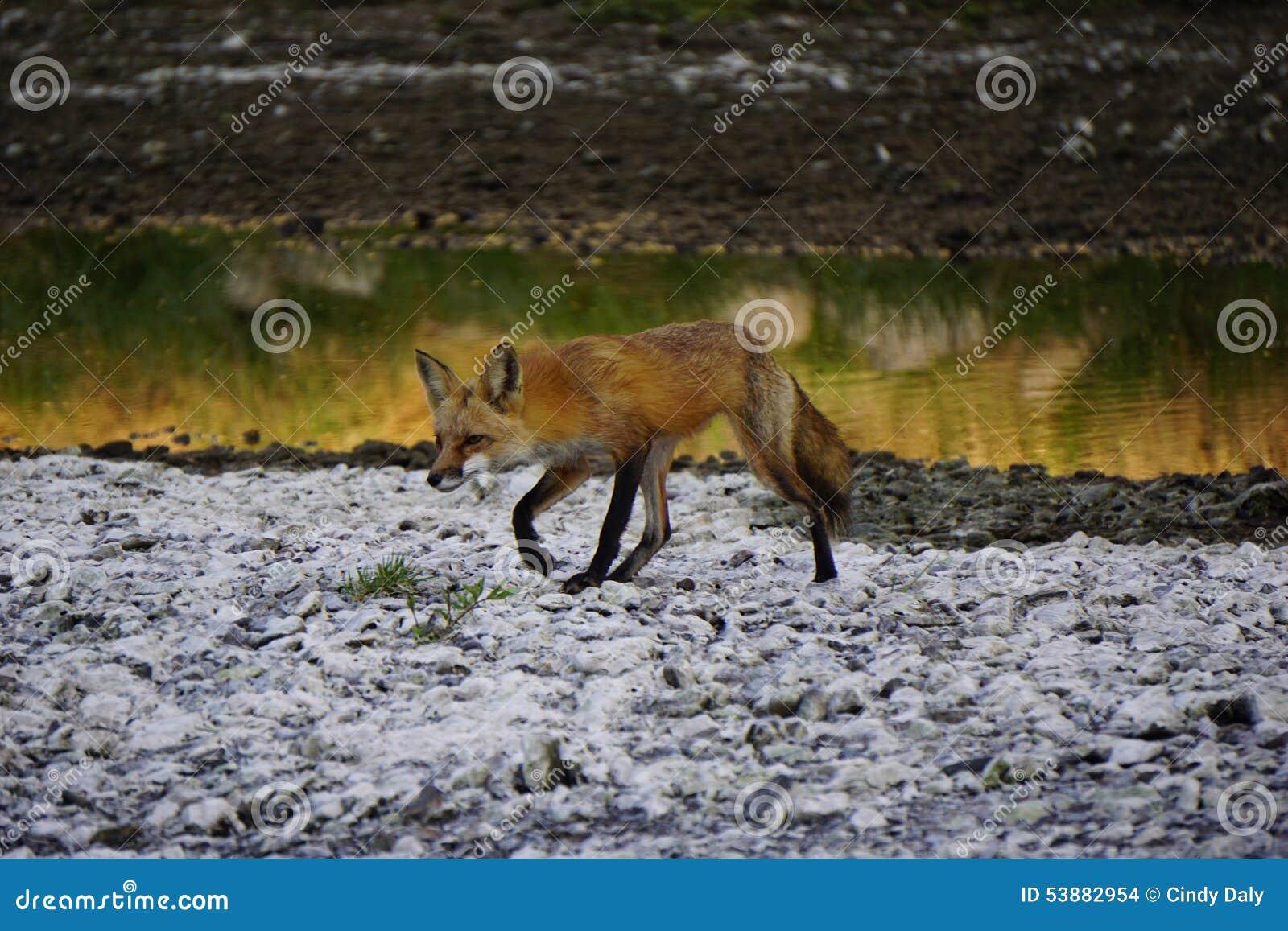 Περπάτημα αλεπούδων