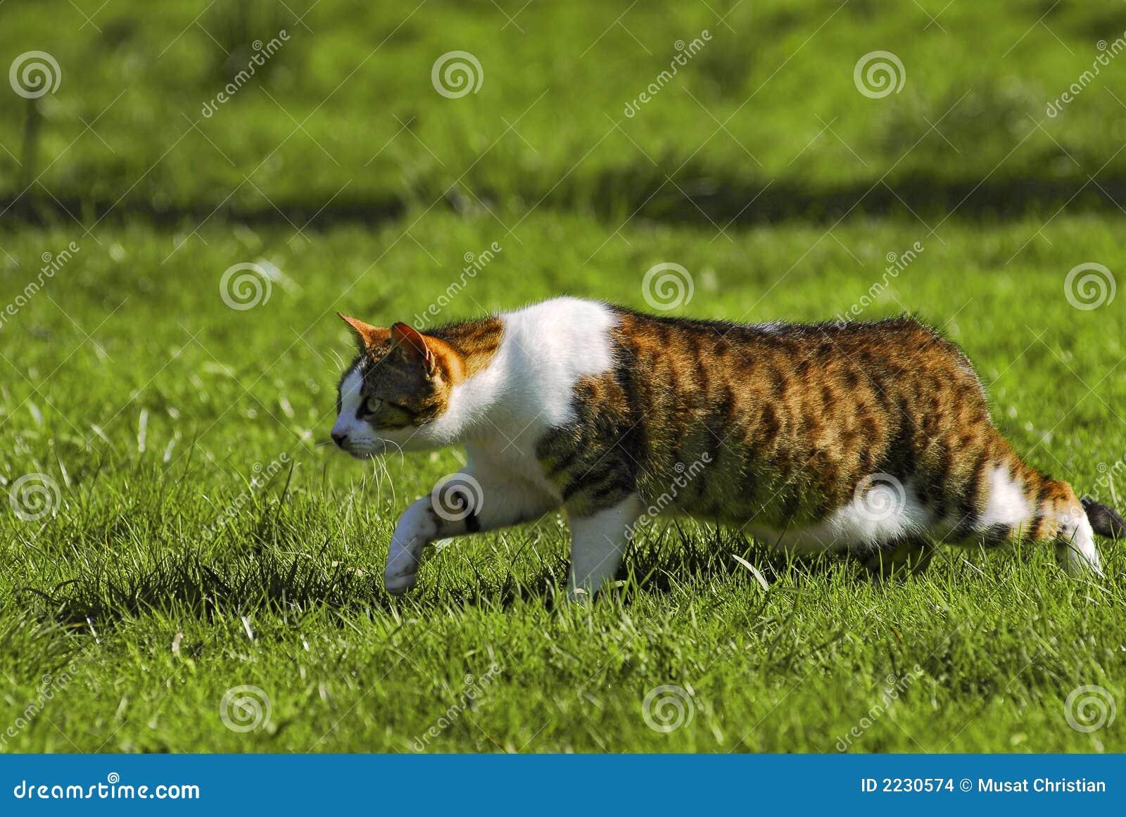 περπάτημα γατών