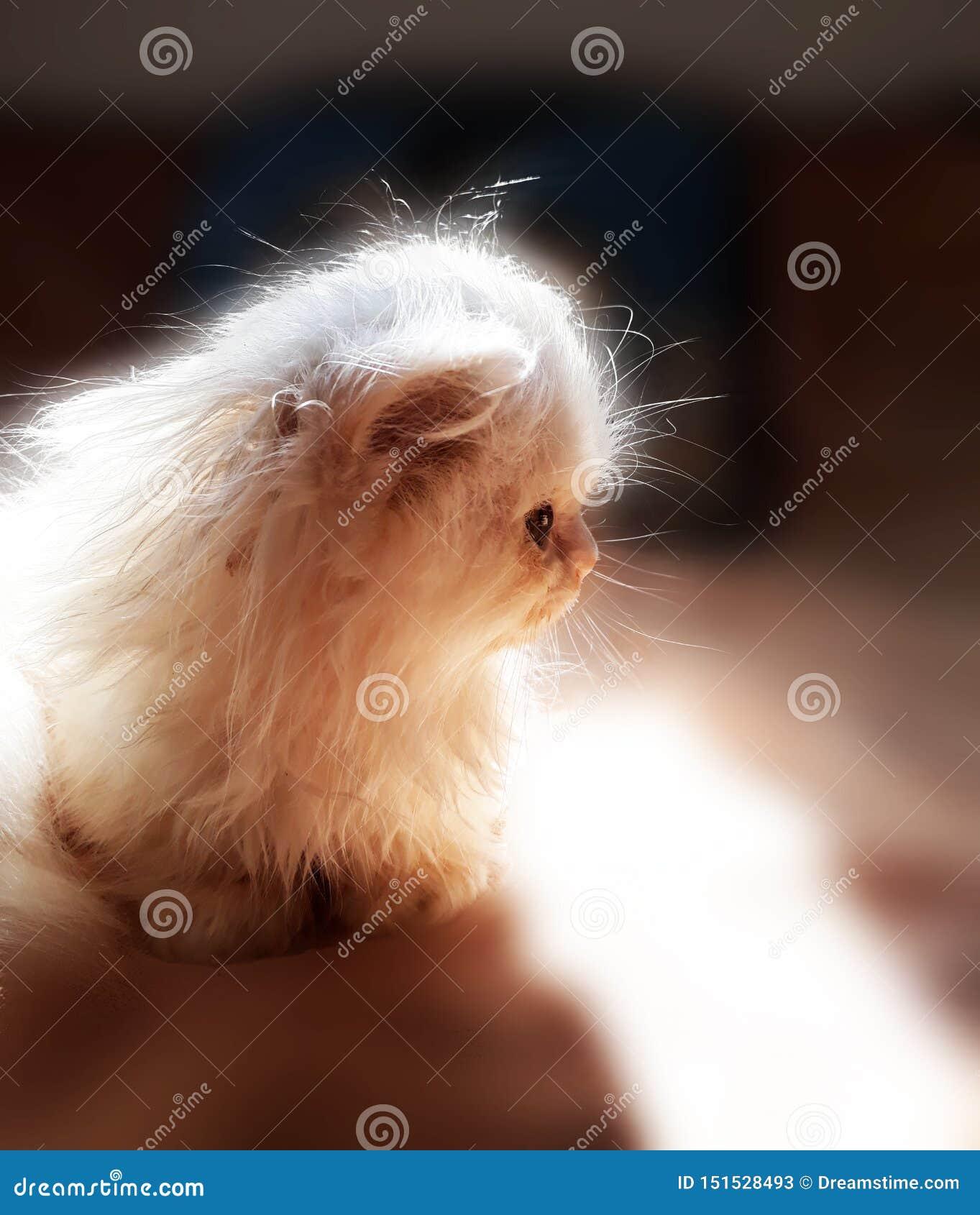 Περσική γάτα