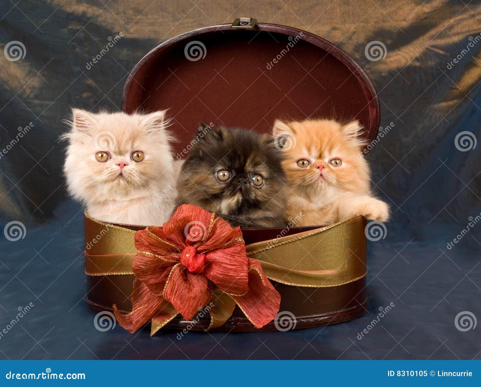 περσικός όμορφος γατακιώ