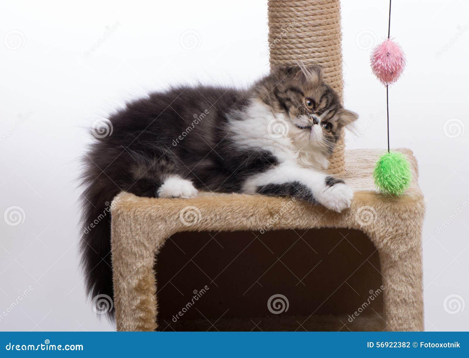 Περσικό γατάκι του σκοτεινού χρωματισμού