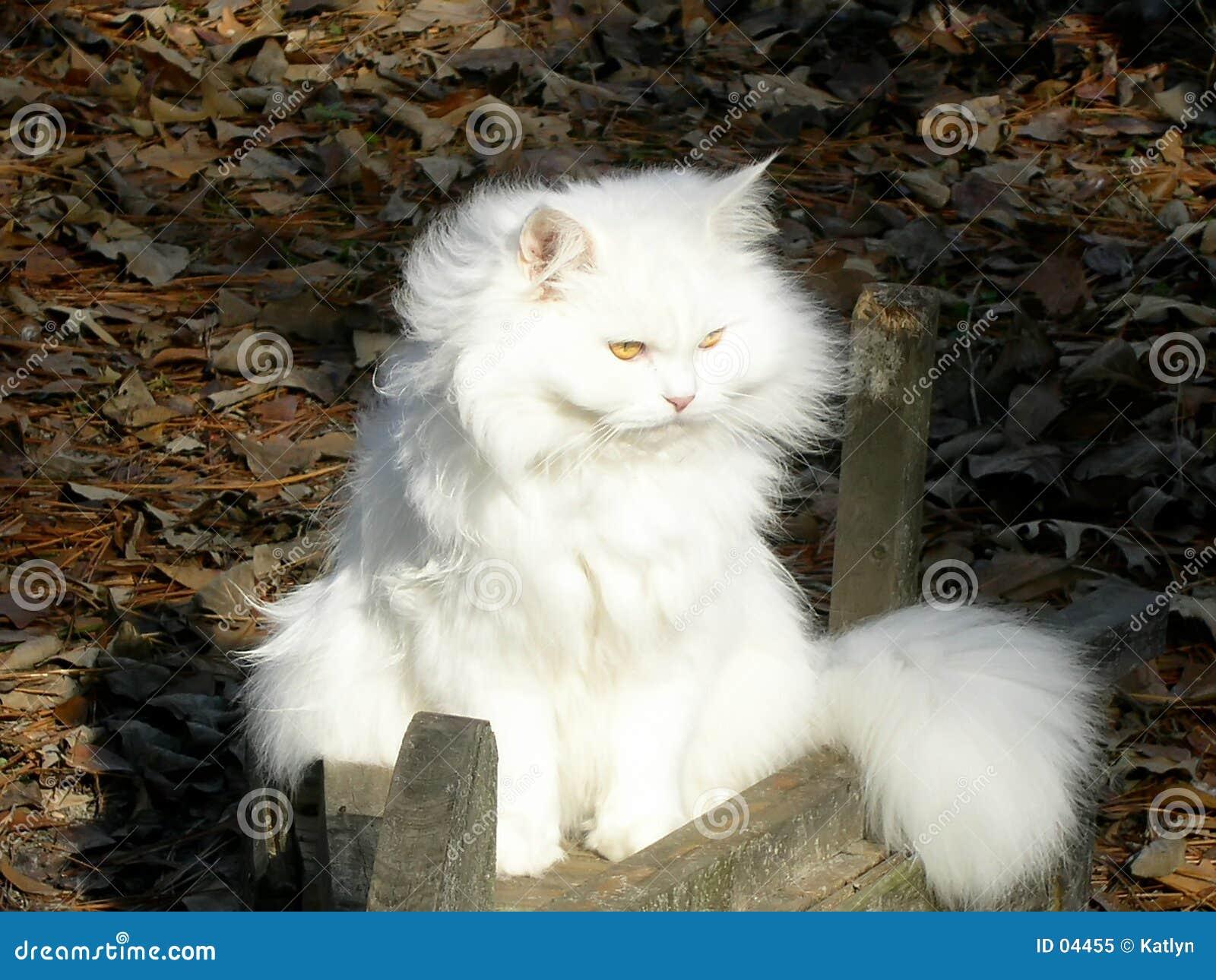 περσικό λευκό
