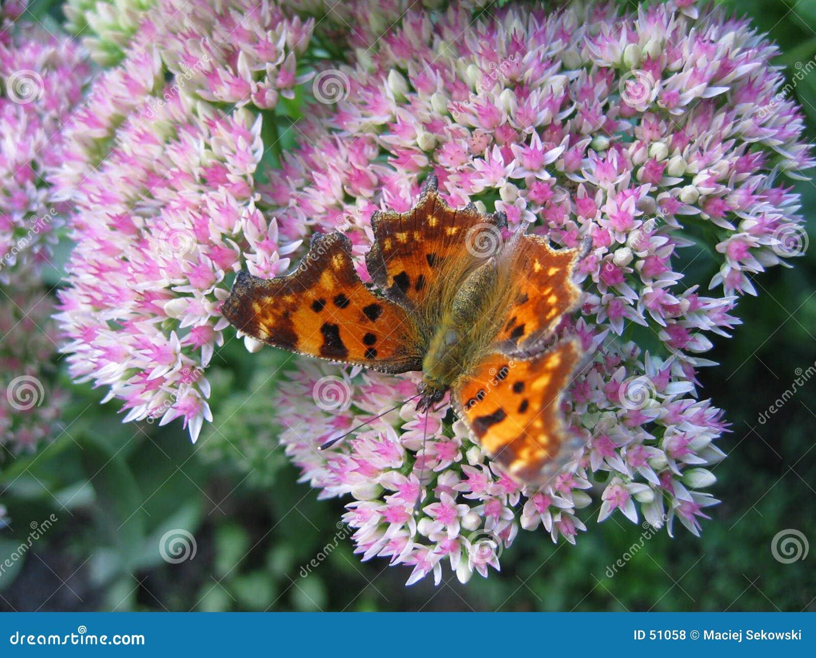 πεταλούδα ΙΙΙ