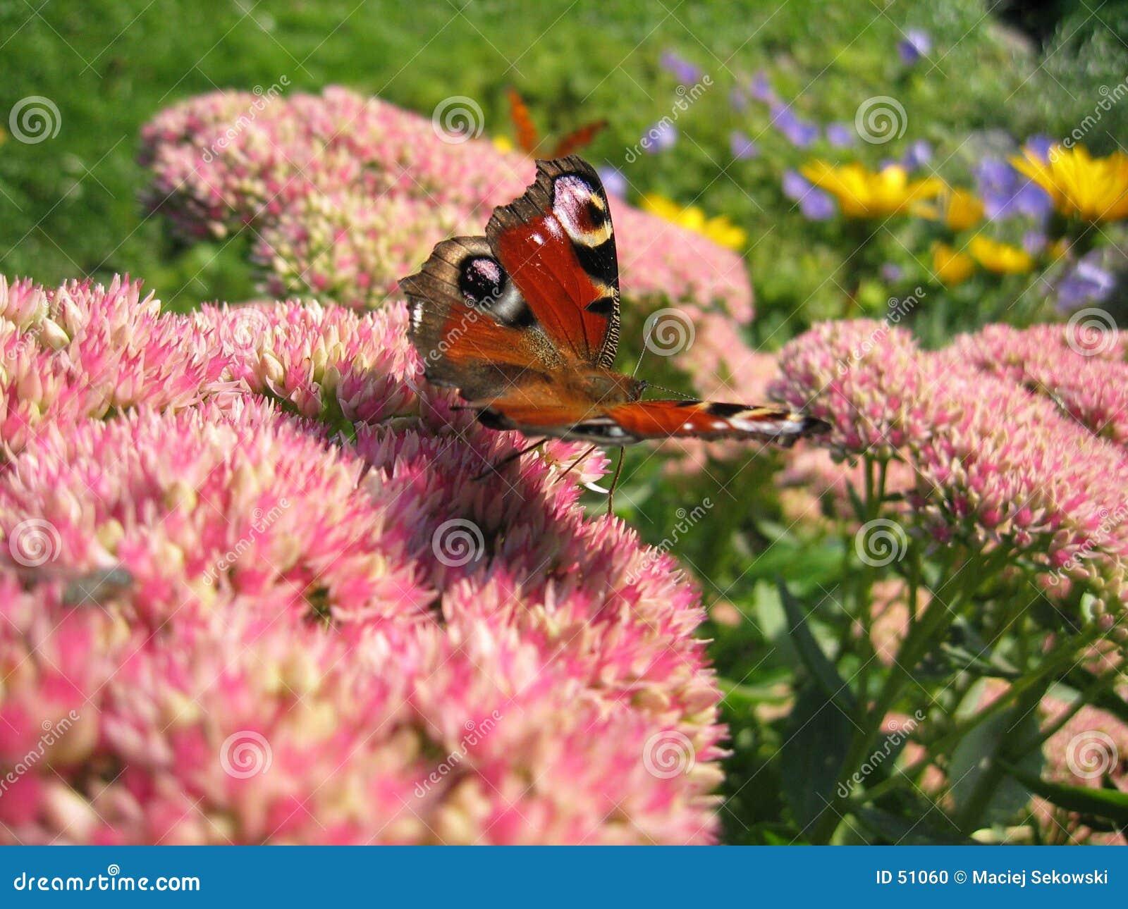 πεταλούδα ι
