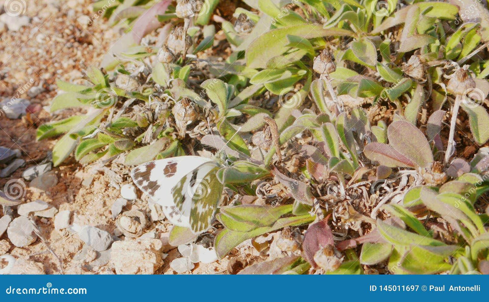 Πεταλούδα 3 λευκού λάχανων