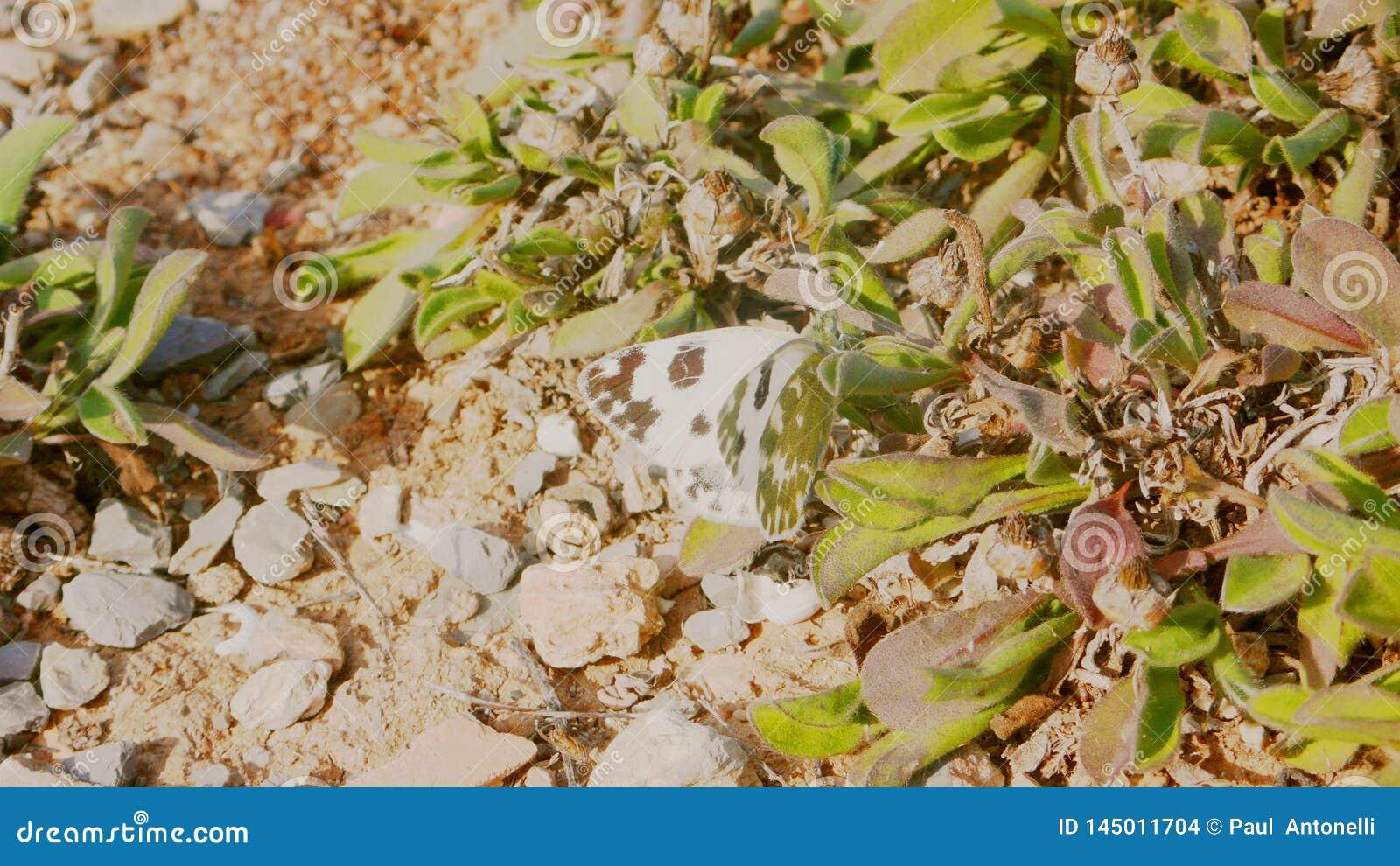 Πεταλούδα 1 λευκού λάχανων