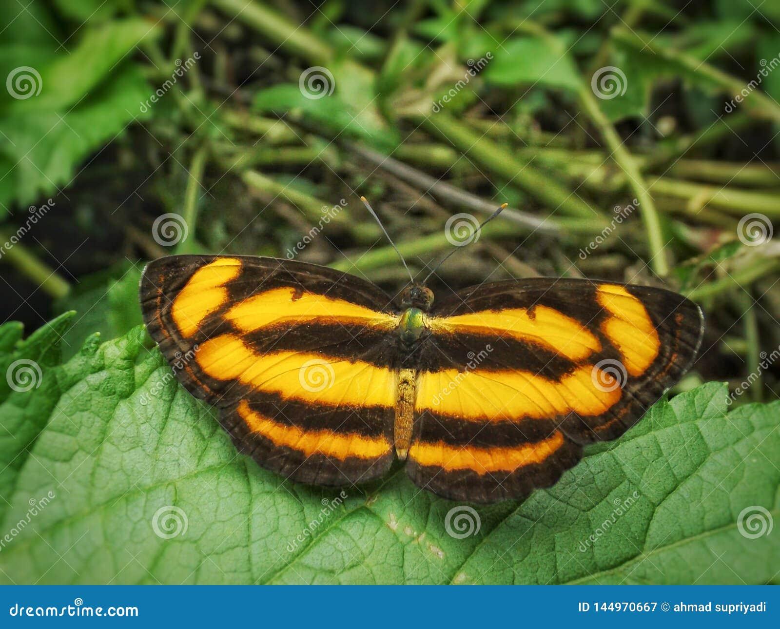 Πεταλούδα με το σχέδιο δερμάτων τιγρών