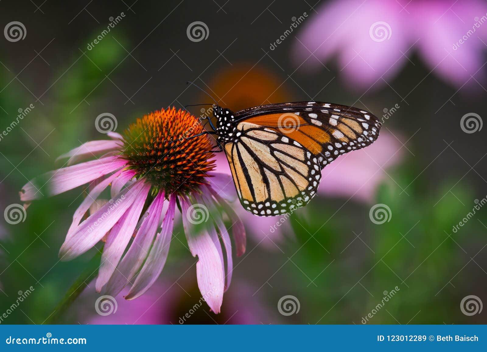 Πεταλούδα μοναρχών σε πορφυρό Coneflower