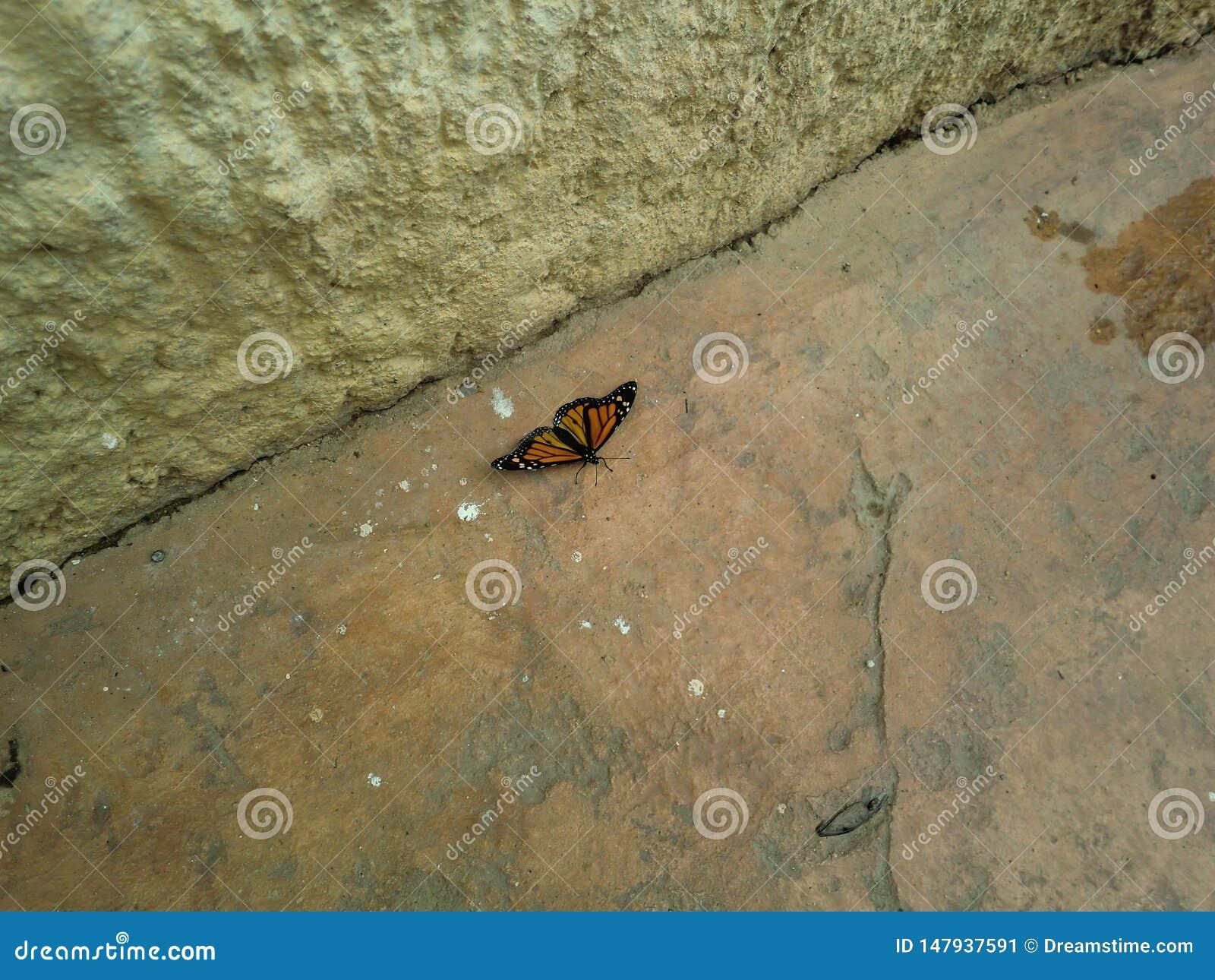 Πεταλούδα μοναρχών στο έδαφος