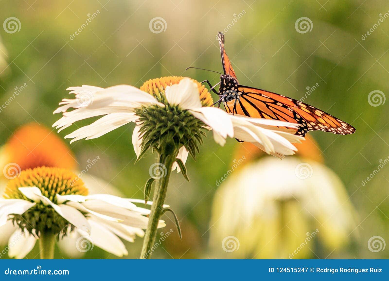 Πεταλούδα που στέκεται σε μια άσπρη μαργαρίτα