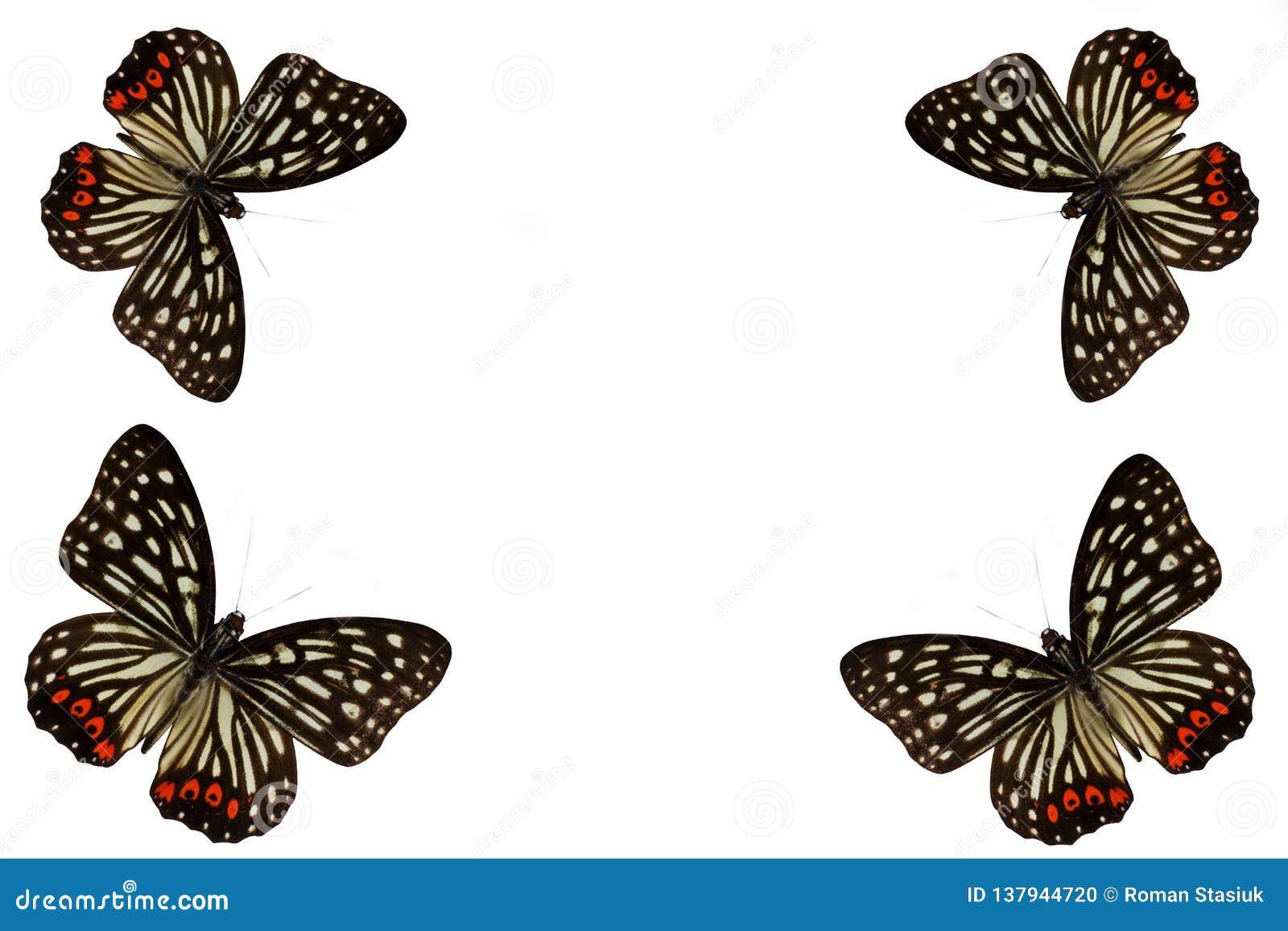 Πεταλούδα σε ένα καθαρό υπόβαθρο