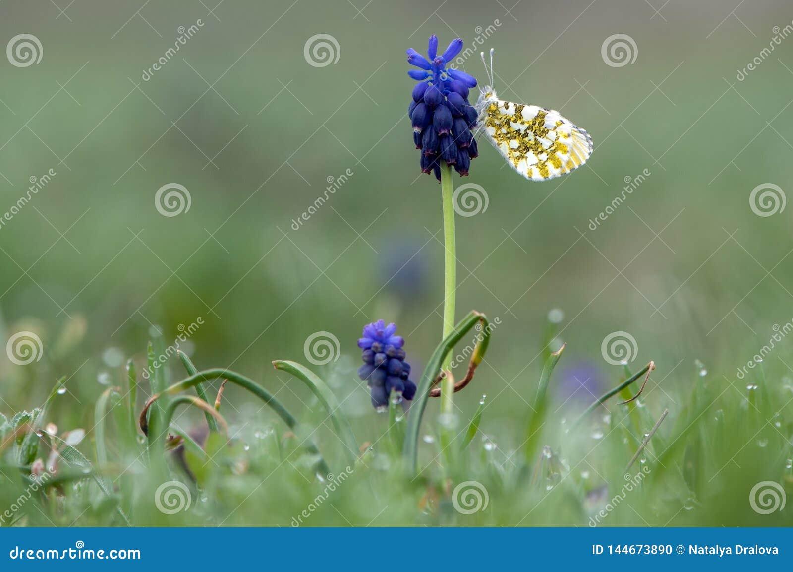 Πεταλούδα στο λουλούδι Muscà ¡ ri σε ένα δασικό ξέφωτο την πρώιμη άνοιξη