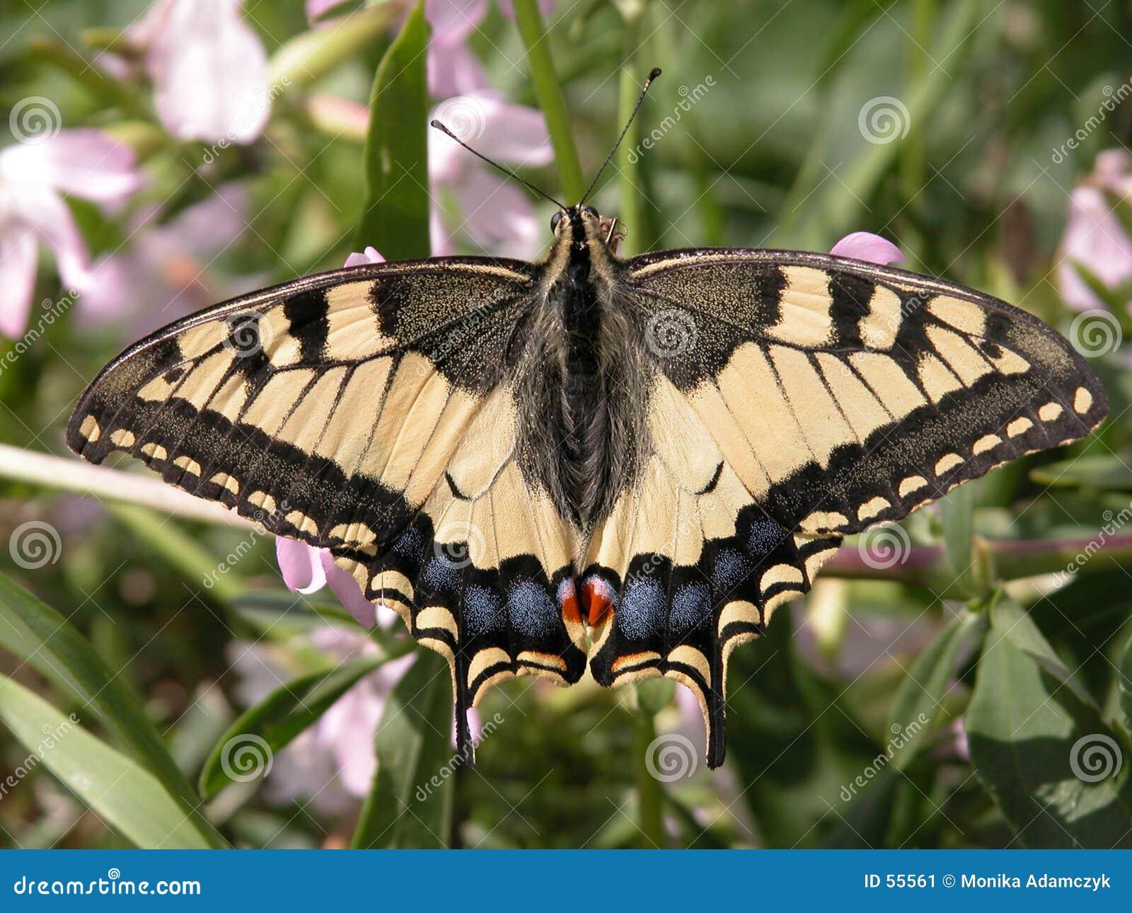 Download πεταλούδα στοκ εικόνα. εικόνα από έντομο, καλοκαίρι, μύγα - 55561