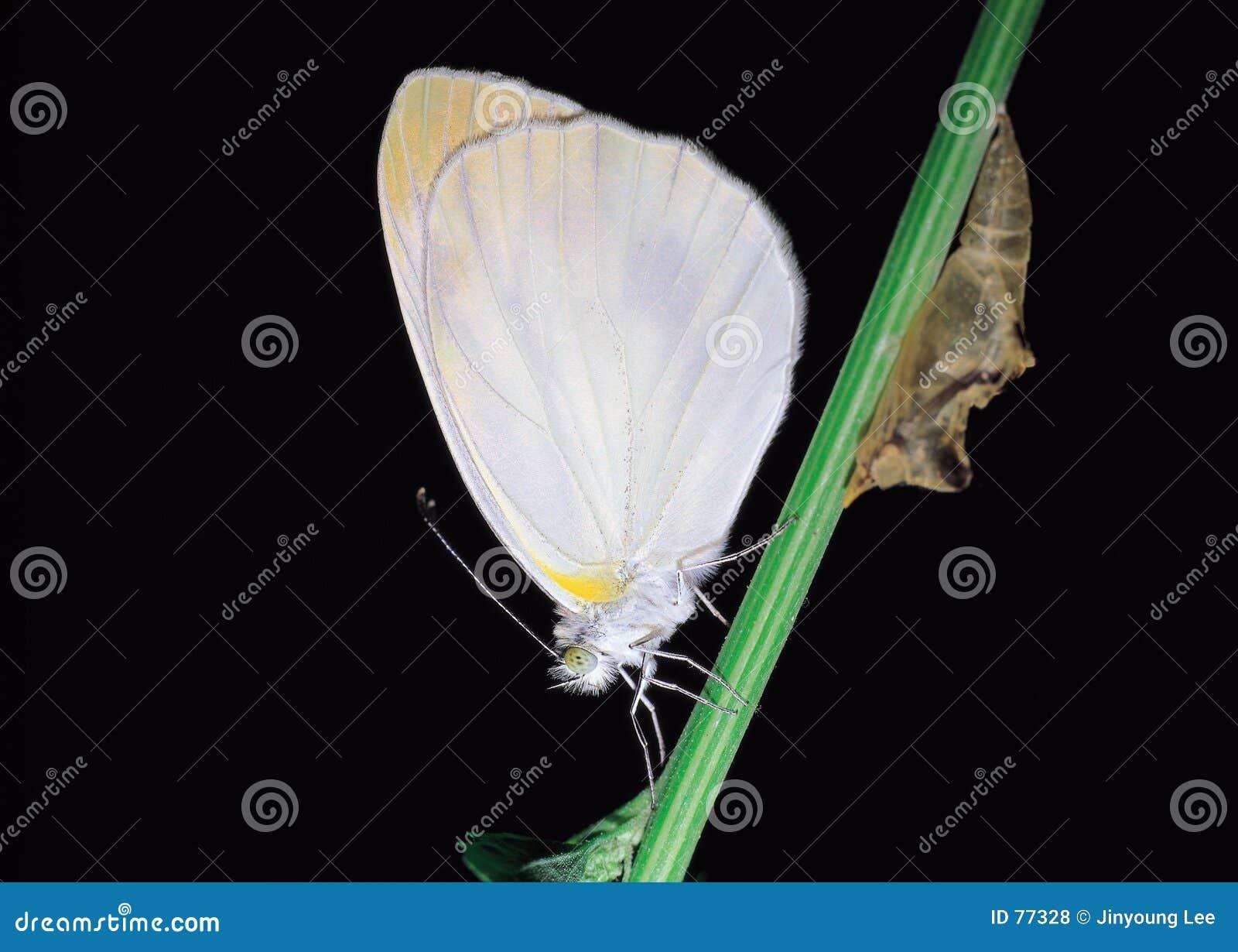 πεταλούδα