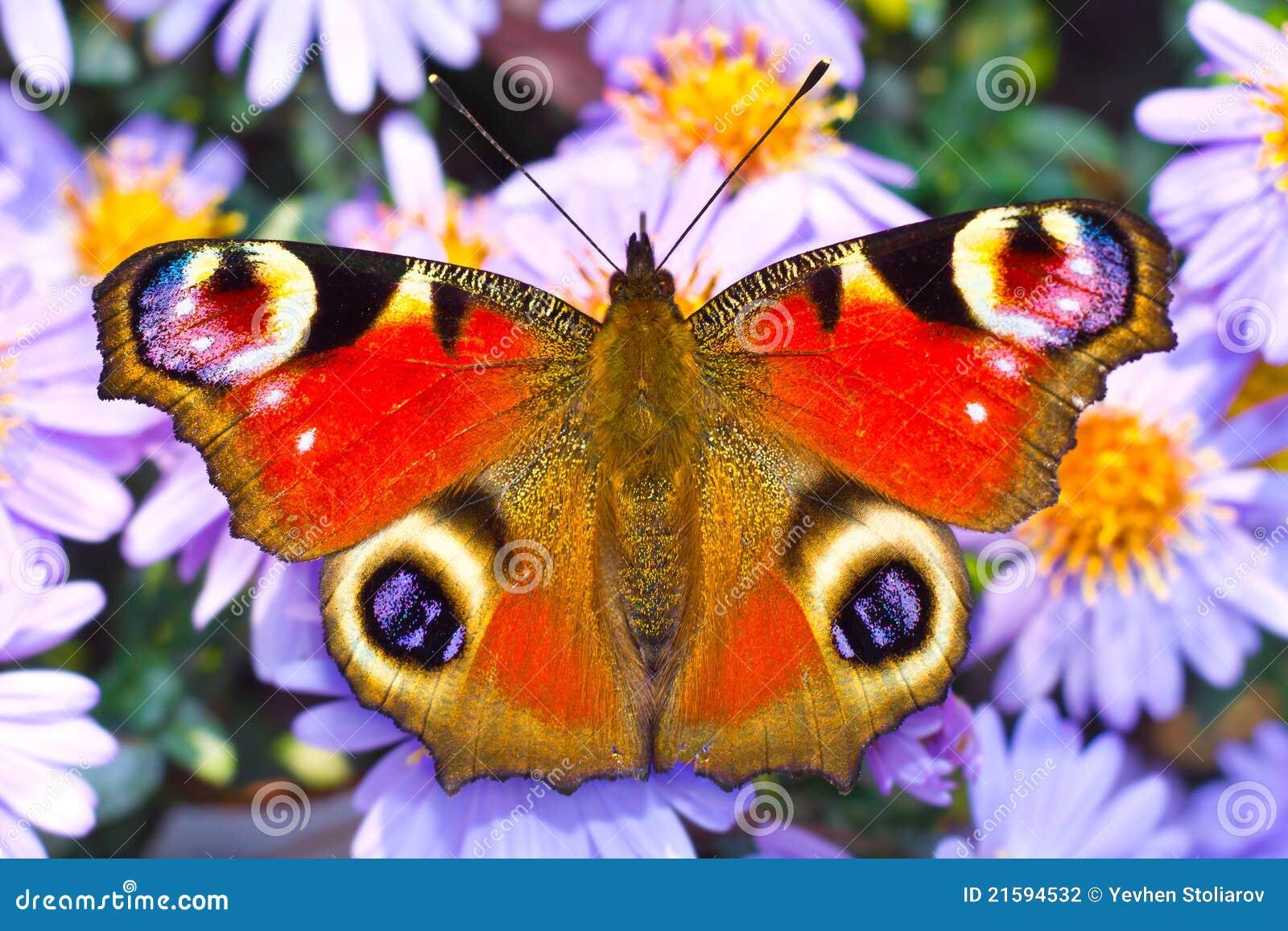πεταλούδα peacock