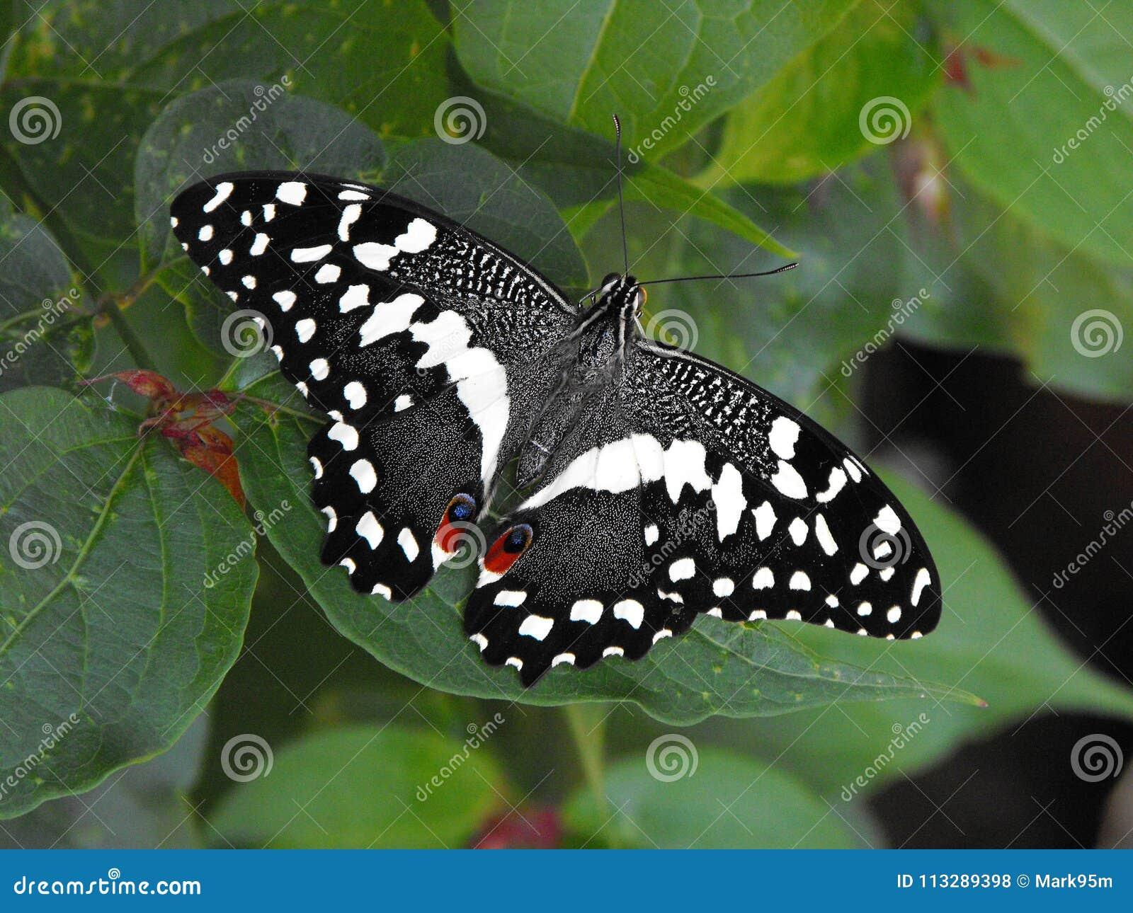Πεταλούδα Swallowtail εσπεριδοειδών