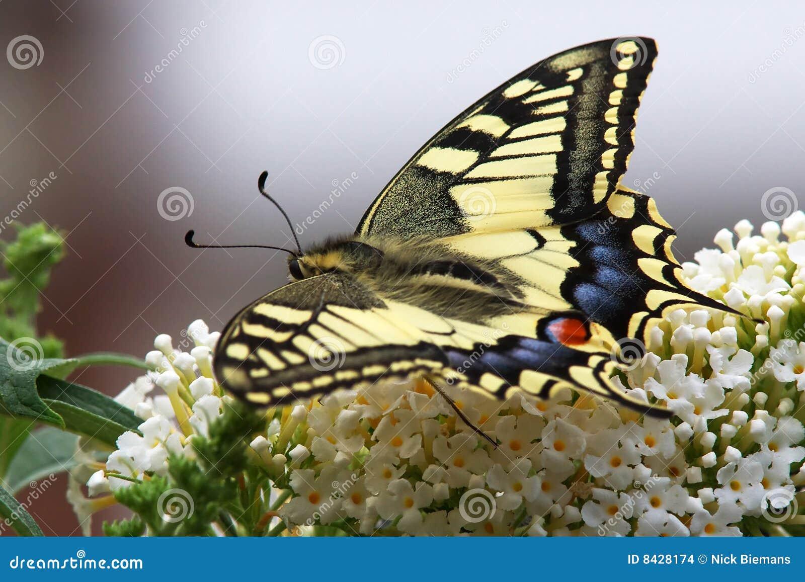 πεταλούδα swallowtail