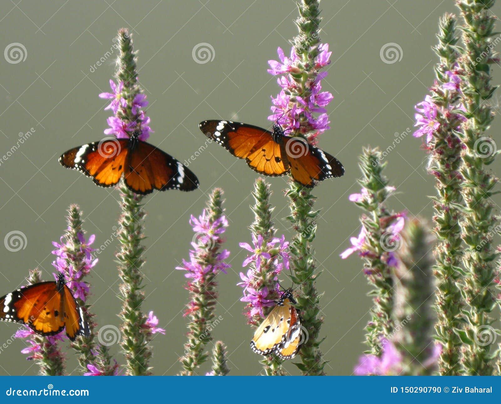 Πεταλούδες σε εγκαταστάσεις στο φυσικό βιότοπό τους