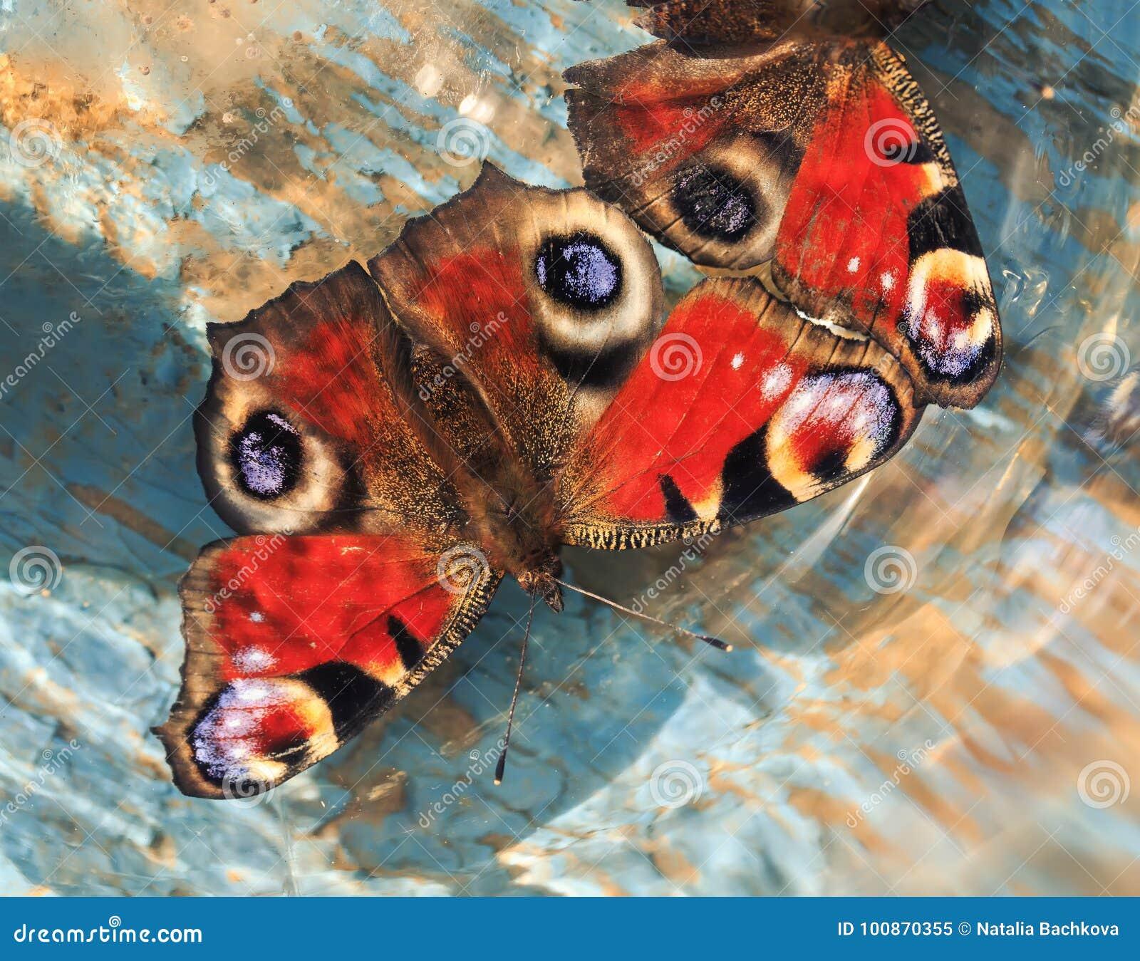 Πεταλούδες της συνεδρίασης ματιών peacock σε μια ξύλινη μπλε χρωματισμένη κυματωγή