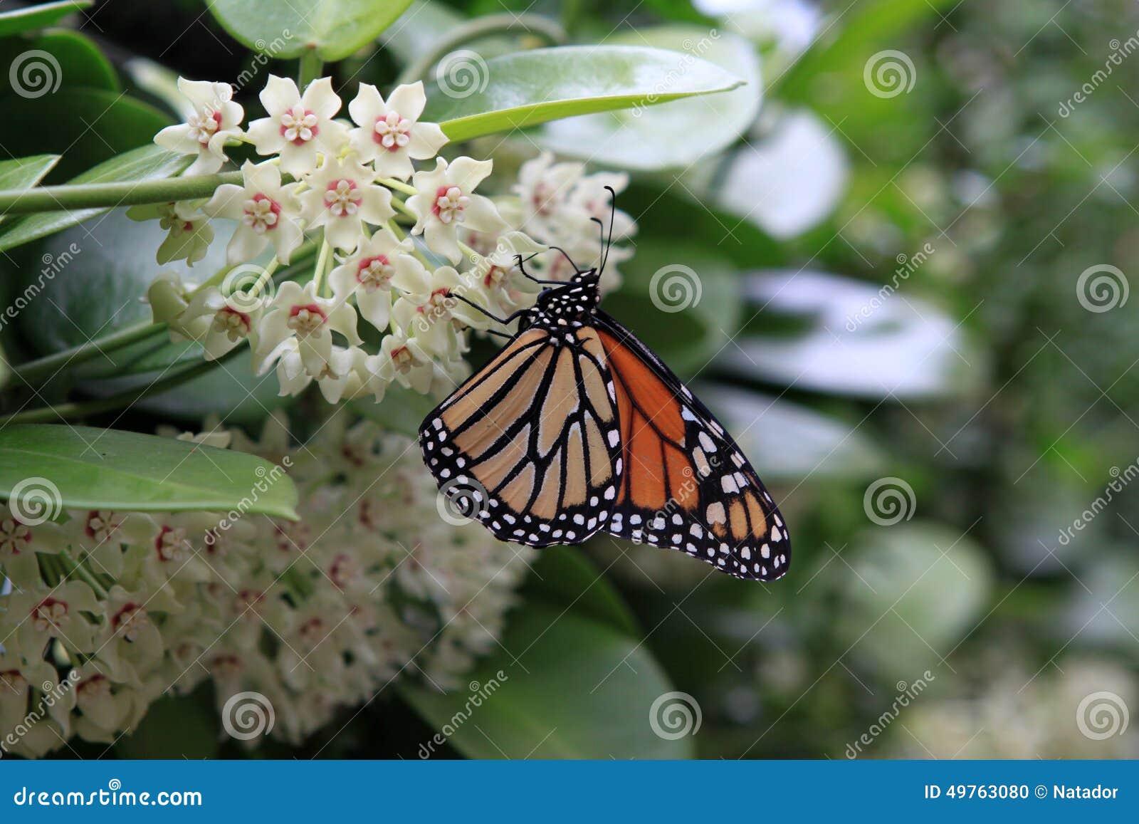 Πεταλούδα μοναρχών Hoya στα λουλούδια