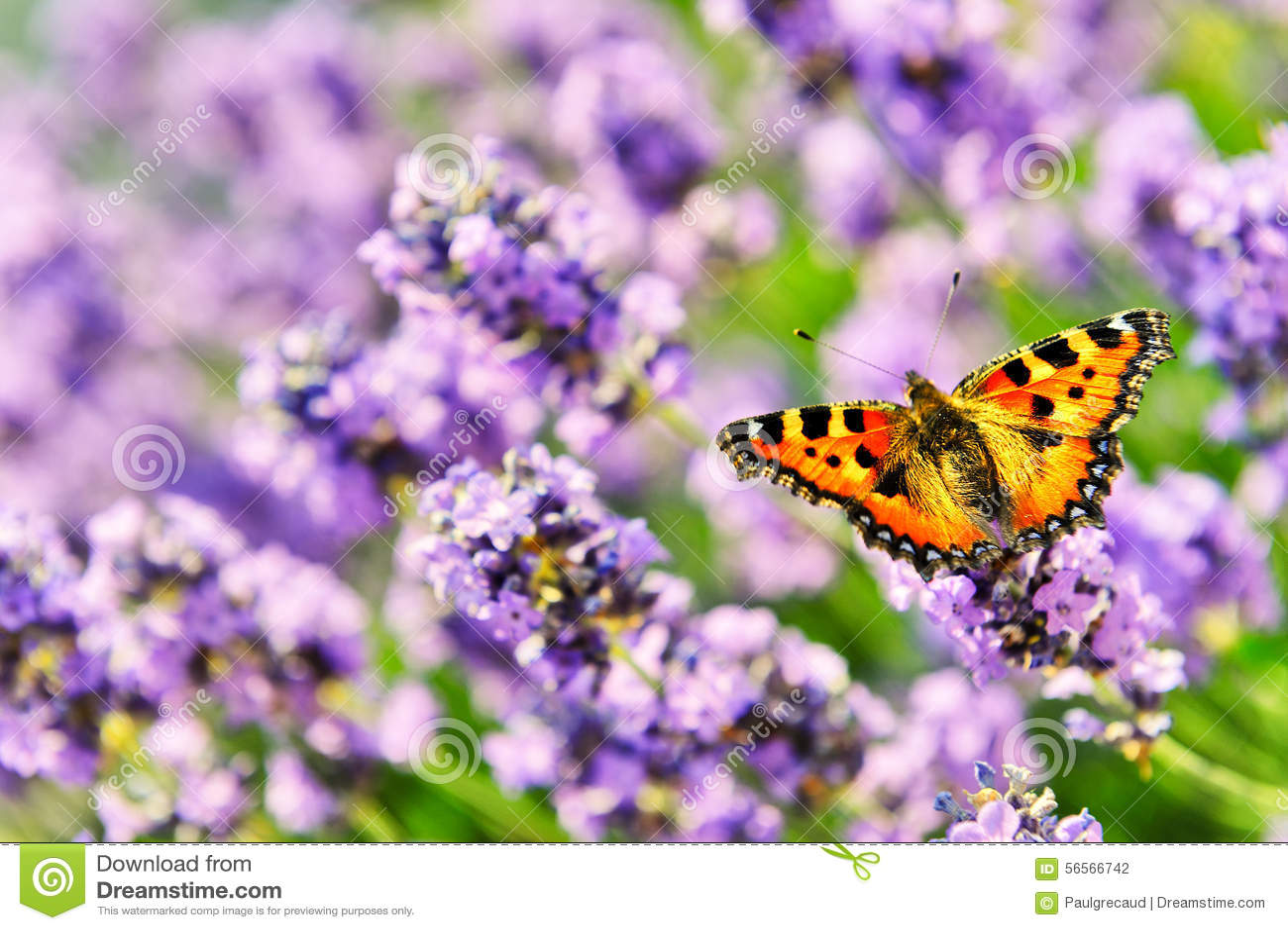 Download Πεταλούδα στα ανθίζοντας Lavender λουλούδια Στοκ Εικόνες - εικόνα από χρώμα, armstrong: 56566742