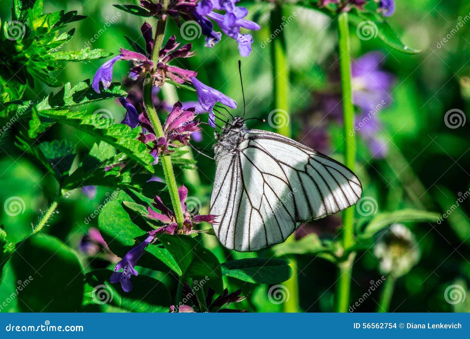 Download Πεταλούδα στοκ εικόνες. εικόνα από εσωτερικός, μεγάλη - 56562754