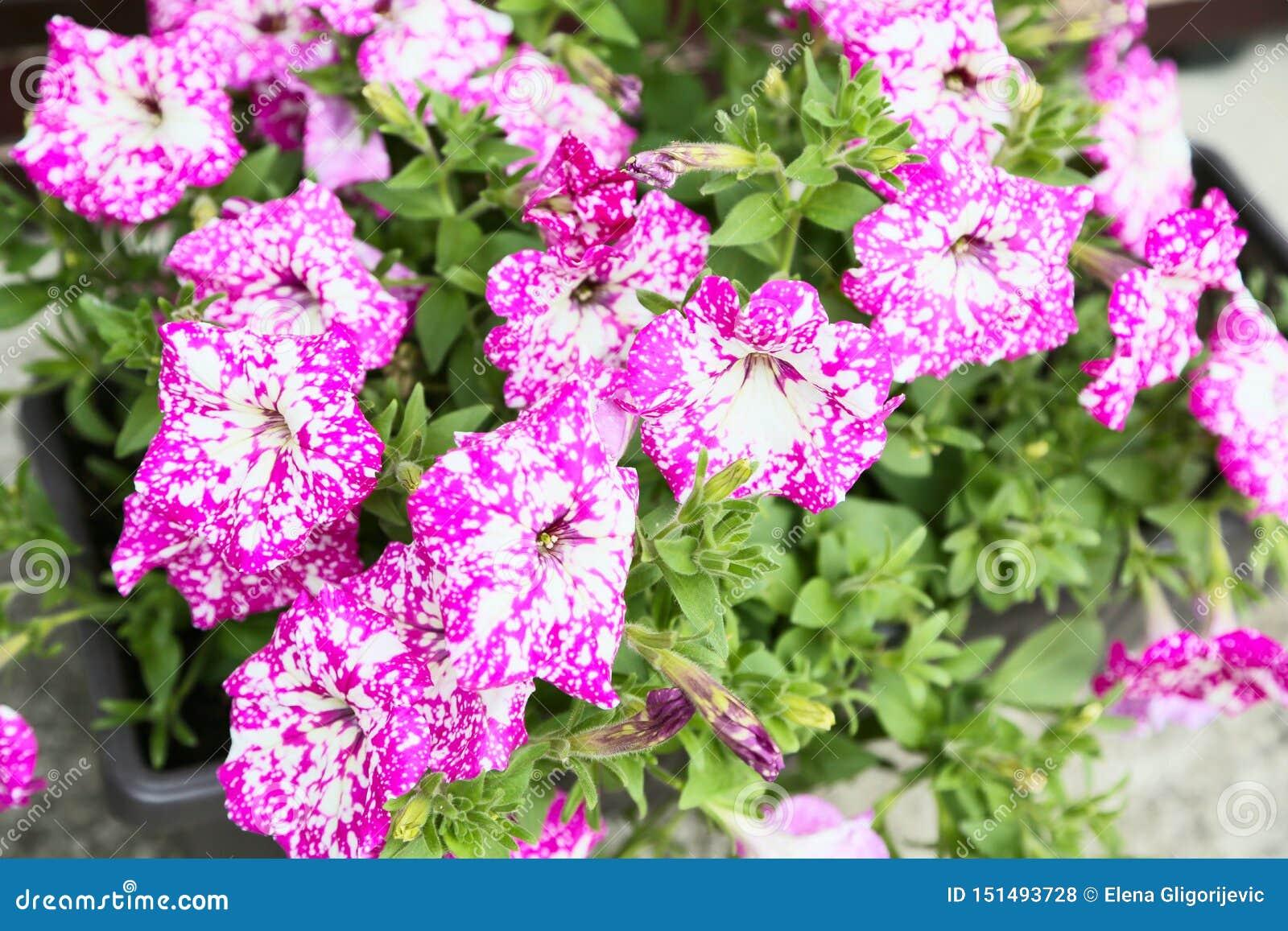 Πετούνια, ζωηρόχρωμο hybrida πετουνιών λουλουδιών πετουνιών Σύσταση υποβάθρου πετουνιών λουλουδιών, σχέδιο