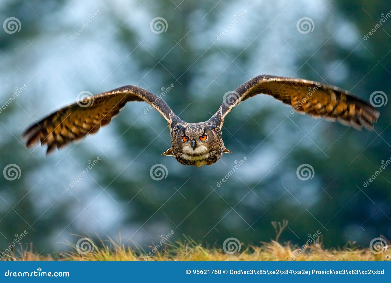 Πετώντας ευρασιατικός μπούφος με τα ανοικτά φτερά με τη νιφάδα χιονιού στο χιονώδες δάσος κατά τη διάρκεια του κρύου χειμώνα Σκην