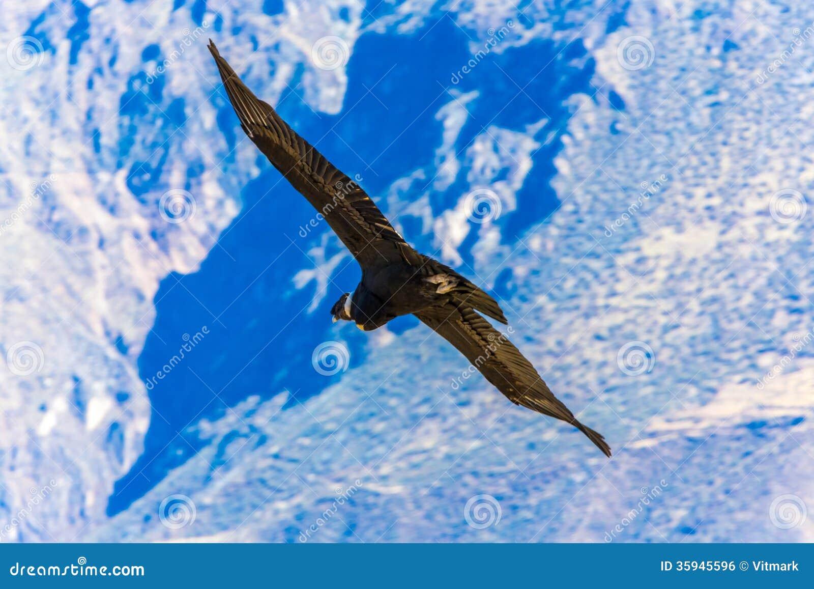 Πετώντας κόνδορας πέρα από το φαράγγι Colca, Περού, Νότια Αμερική. Αυτός ο κόνδορας το μεγαλύτερο πετώντας πουλί