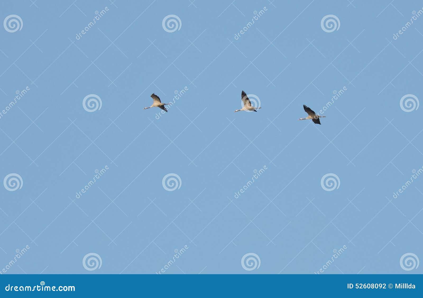 Πετώντας πουλιά γερανών