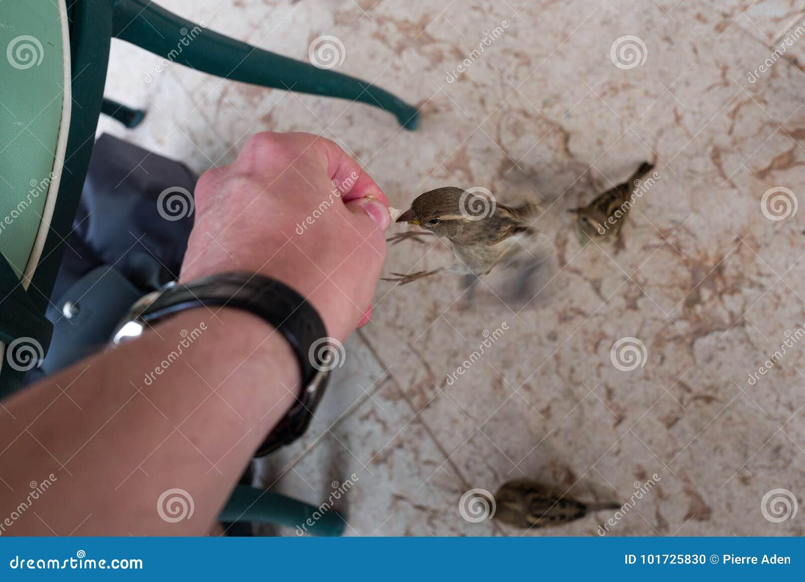 Πετώντας σπουργίτι που τρώει από το χέρι
