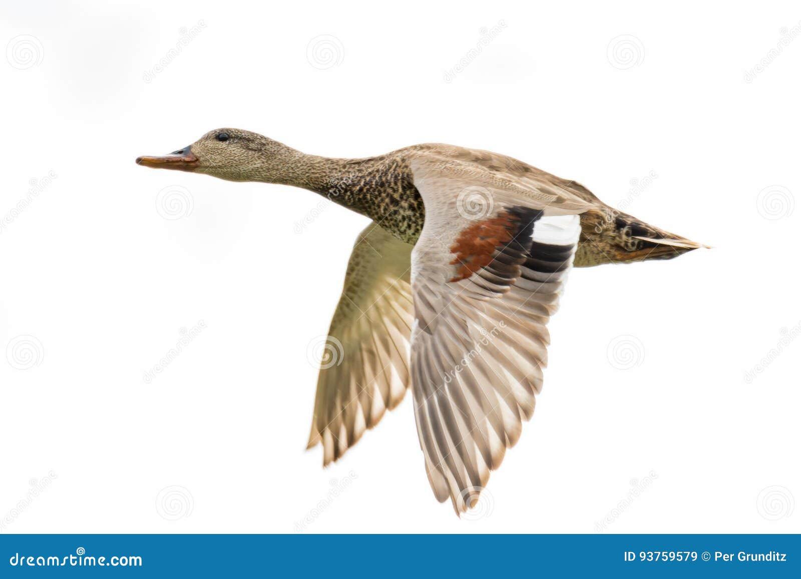Πετώντας φλυαρόπαπια