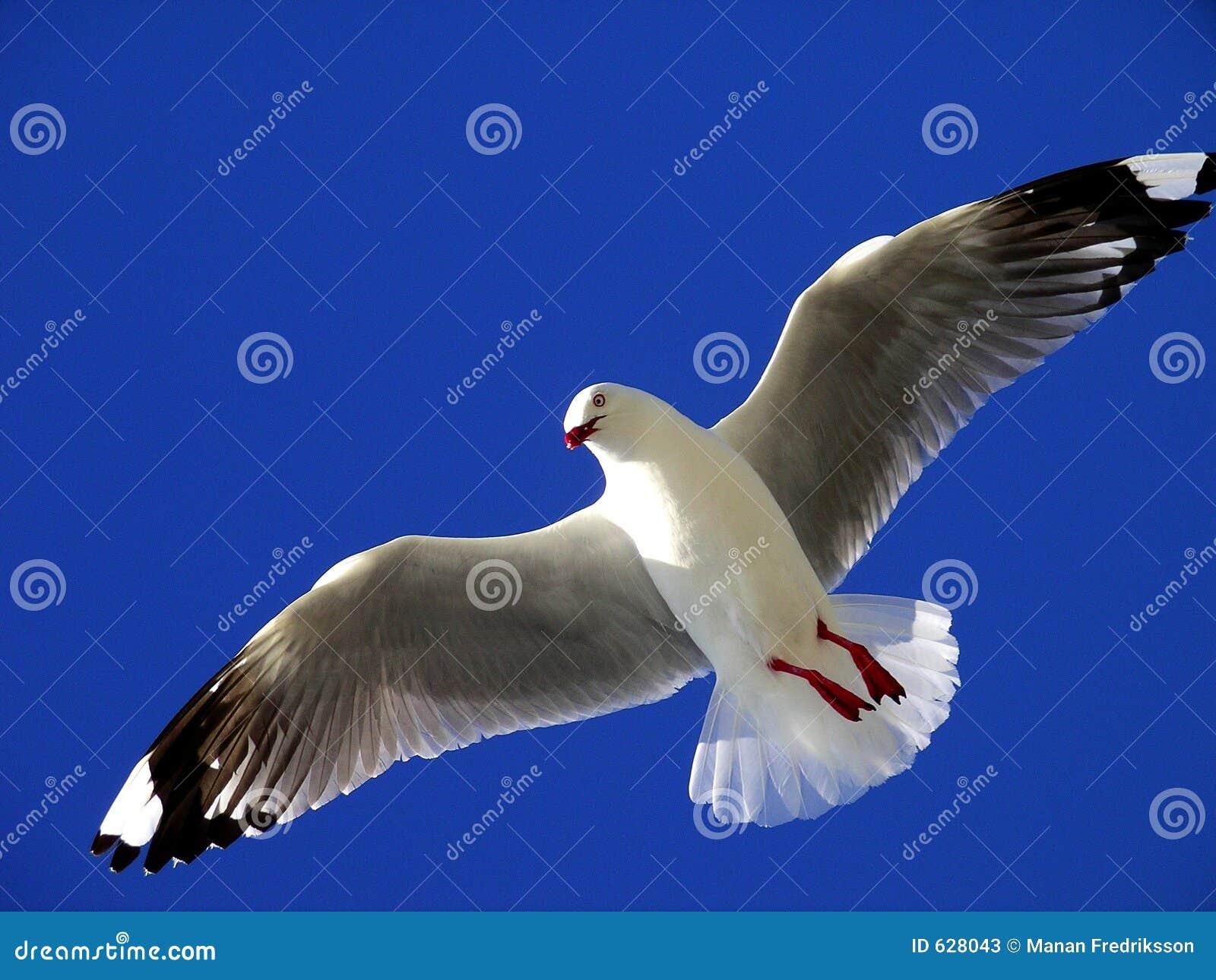πετώντας seagull