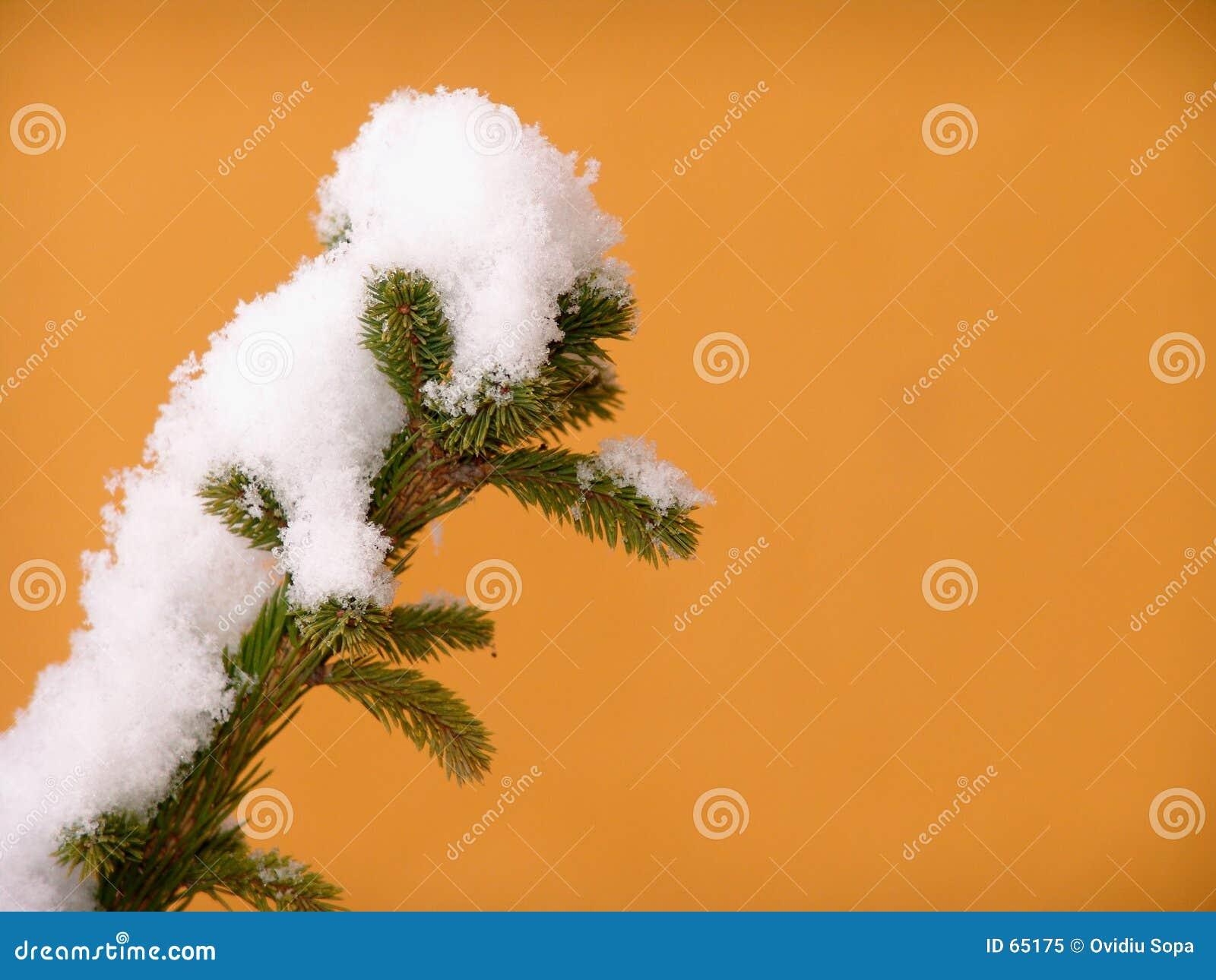 πεύκο κλάδων χιονώδες