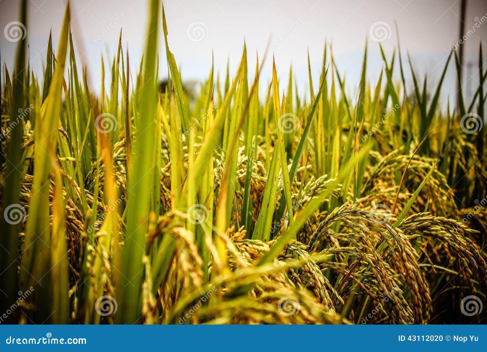 Πεδία ρυζιού