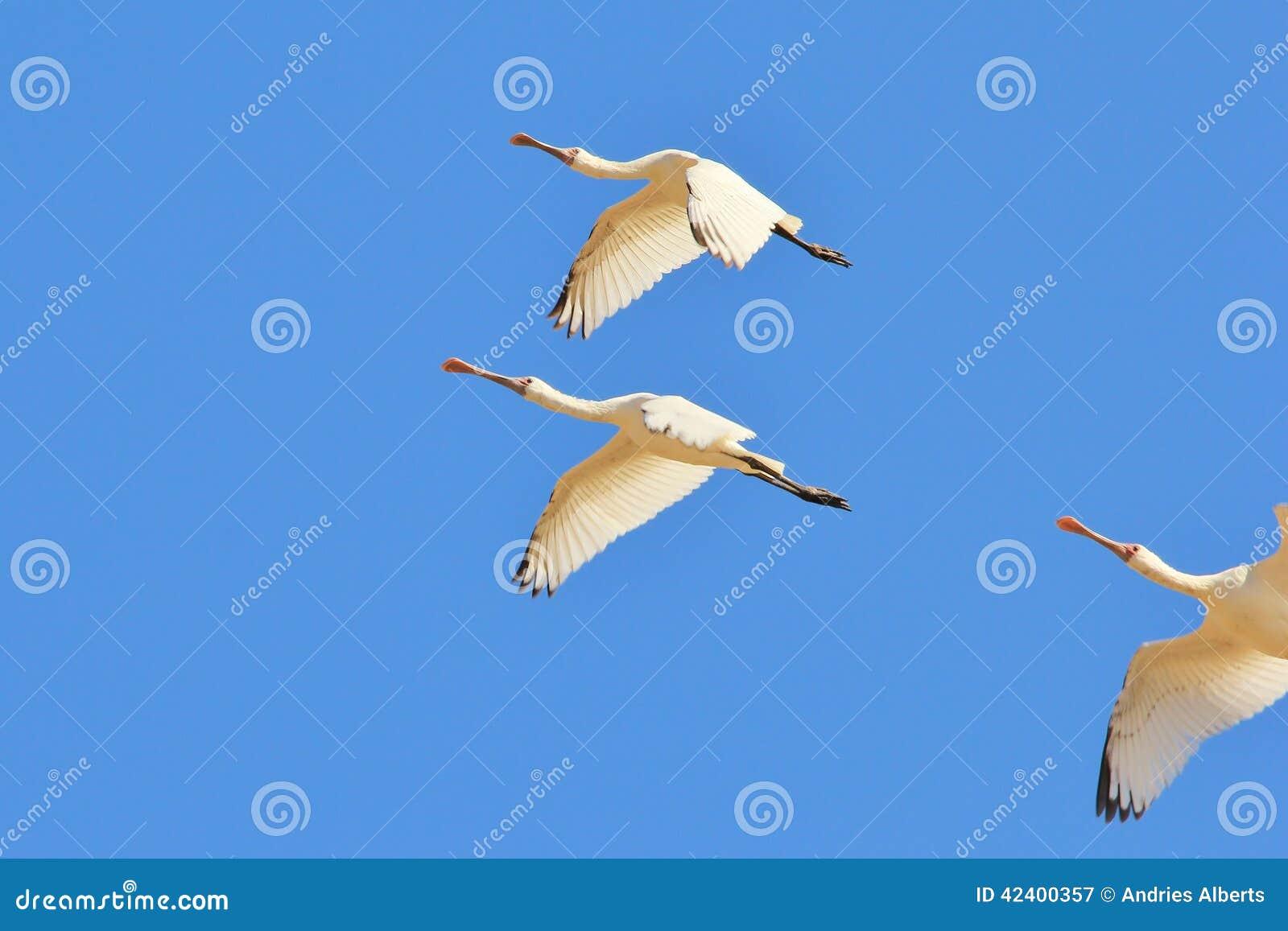 Πελαργός πλαταλεών - αφρικανικό άγριο υπόβαθρο πουλιών - ελευθερία της πτήσης