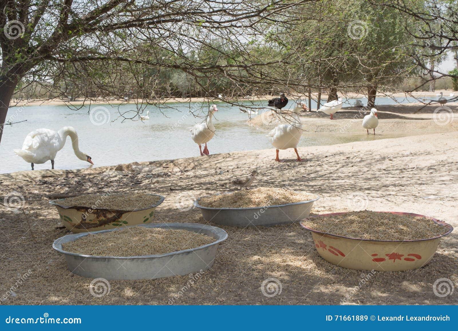 Πιάτα με τα πουλιά provender για τις χήνες και τις πάπιες στο άδυτο