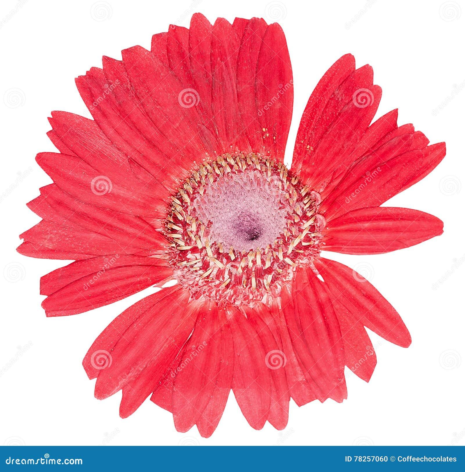 Πιεσμένο επικεφαλής gerbera λουλουδιών