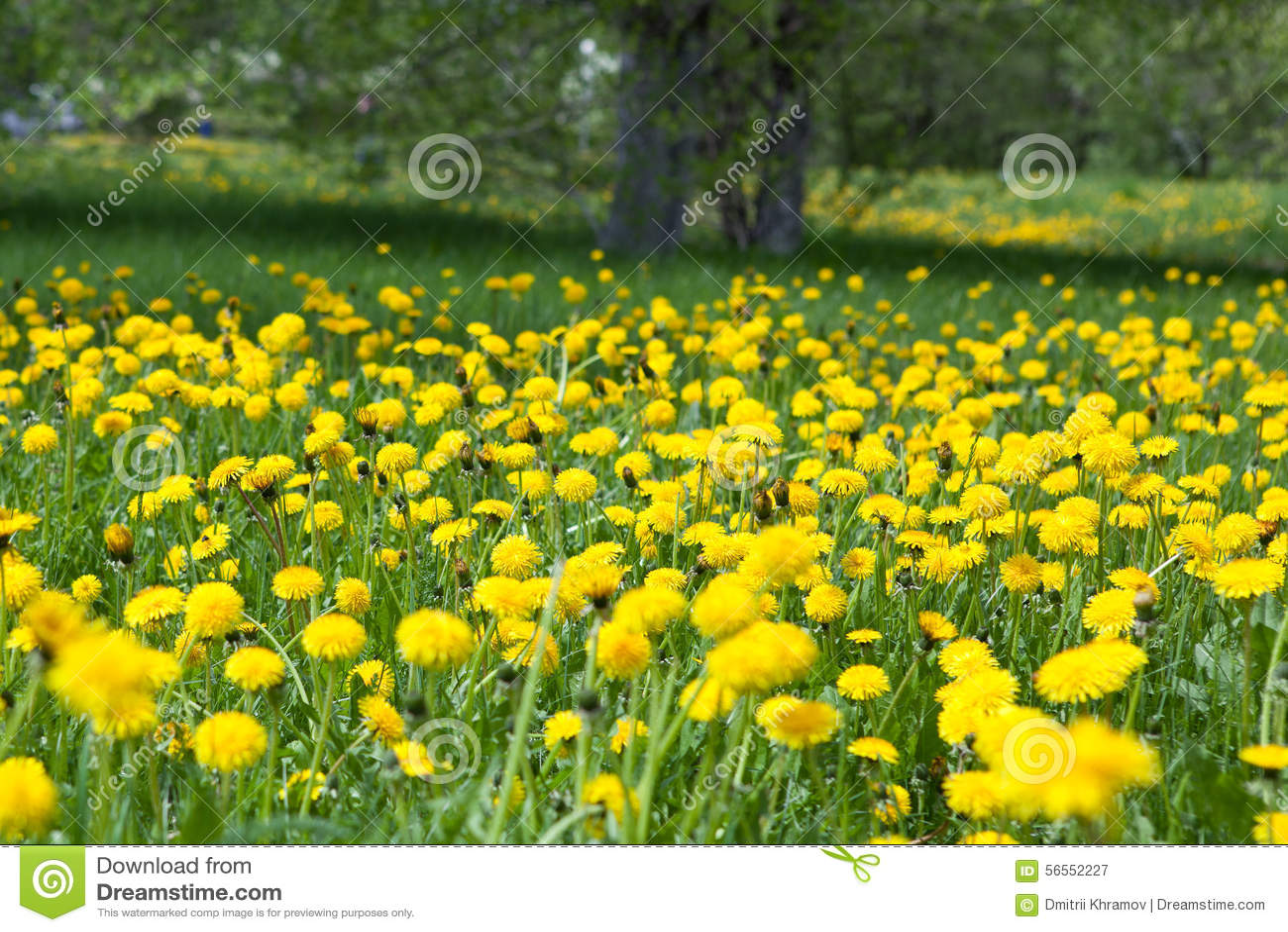 Download Πικραλίδα μεταξύ των λουλουδιών Στοκ Εικόνα - εικόνα από ήλιος, χλόη: 56552227